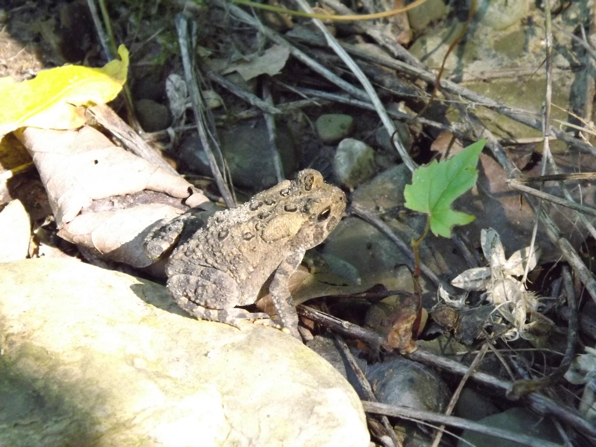 Fowler's Toad   Bufo fowleri