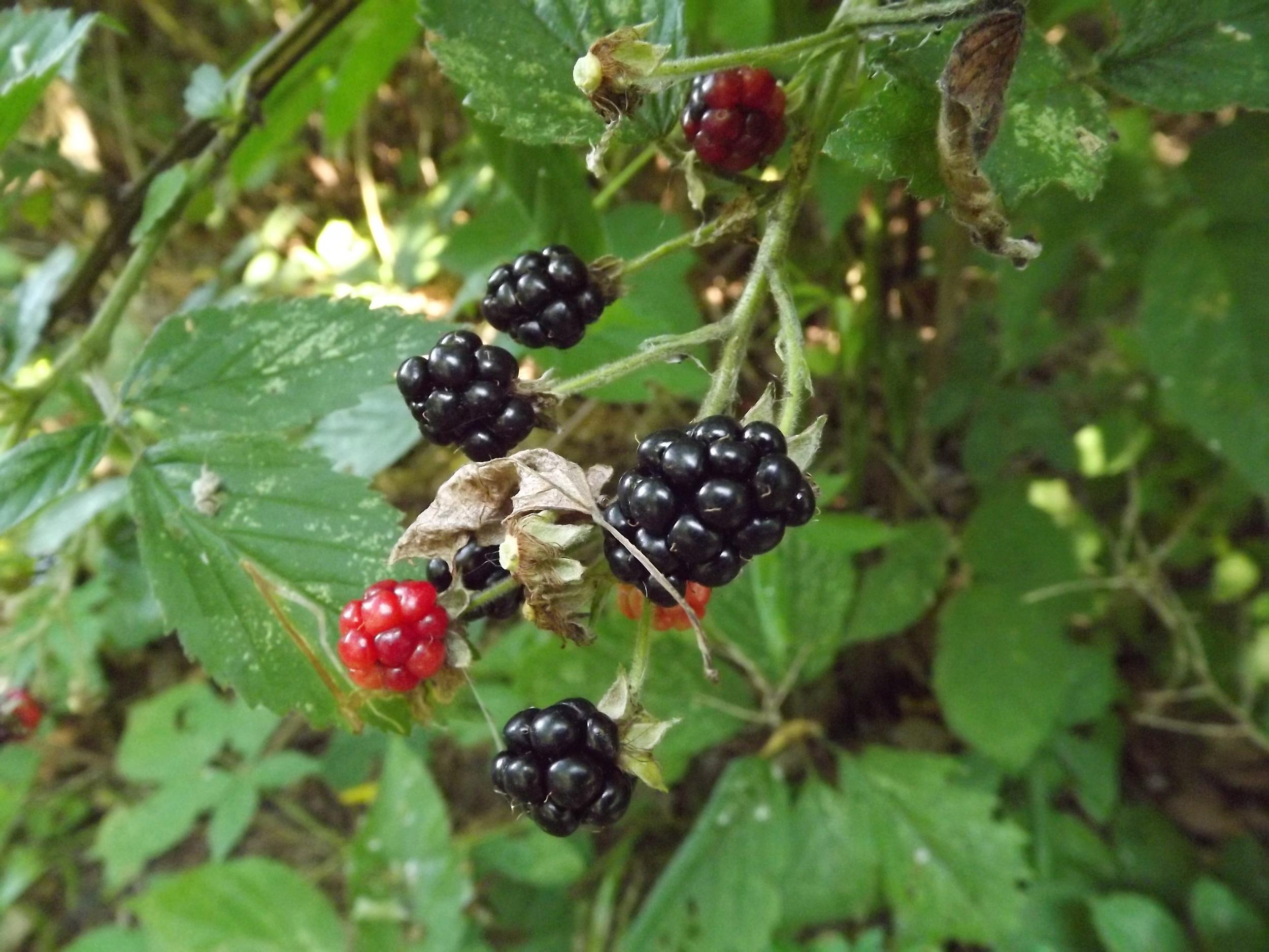 Wild Blackberry   Rubus fruticosus