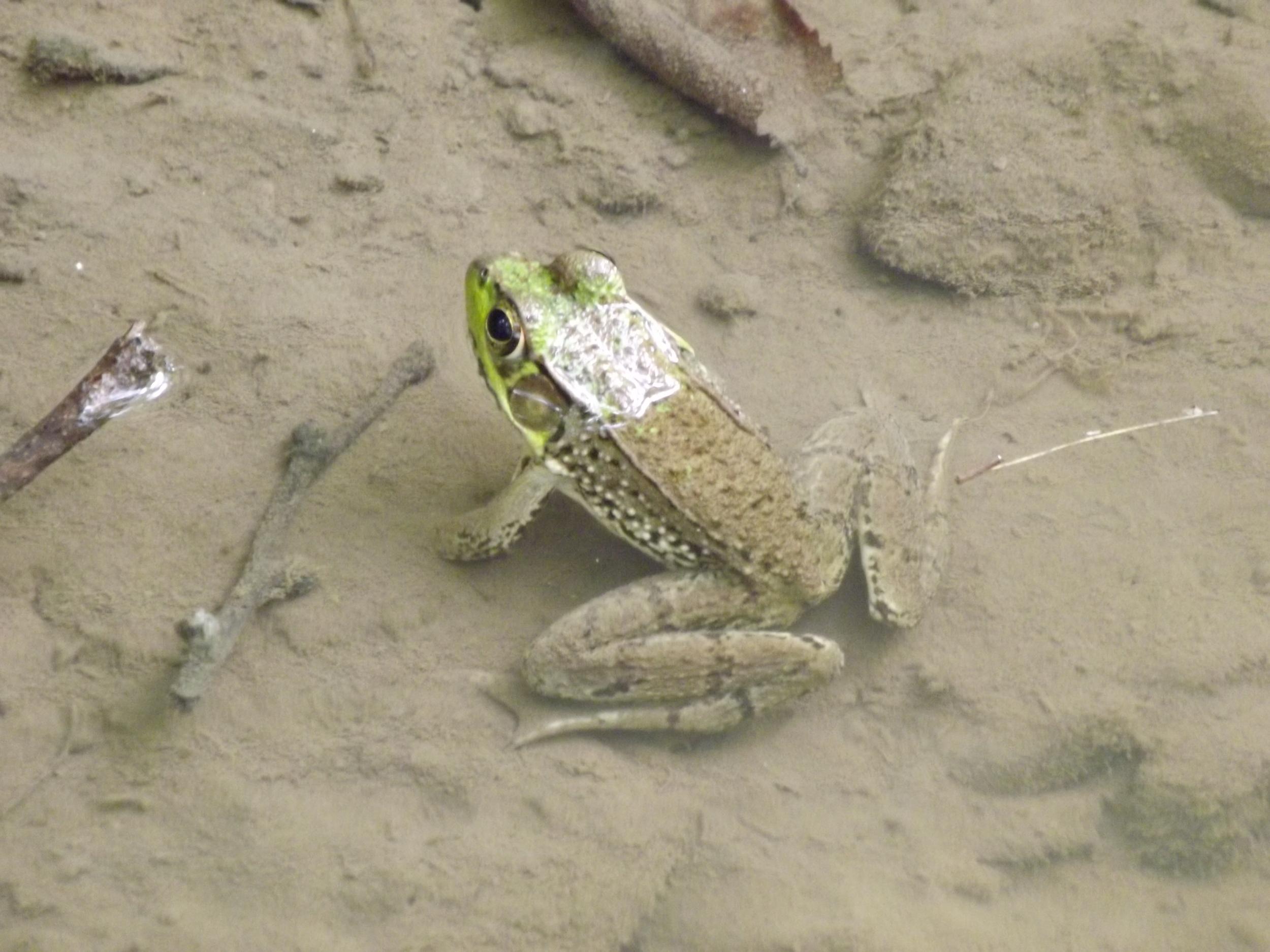Green Frog   Rana clamitans