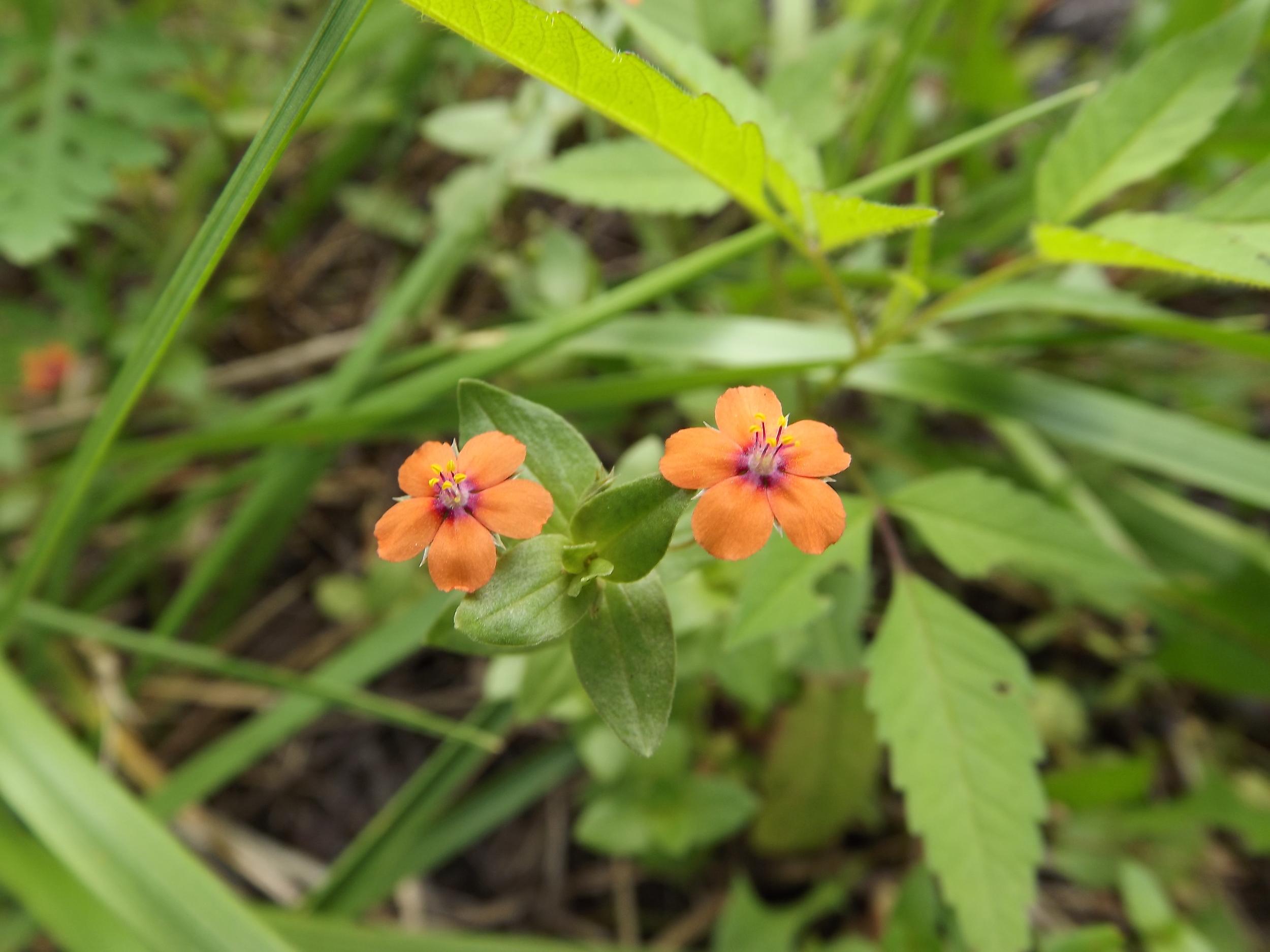 Scarlet Pimpernel (Non-Native)   Anagallis arvensis