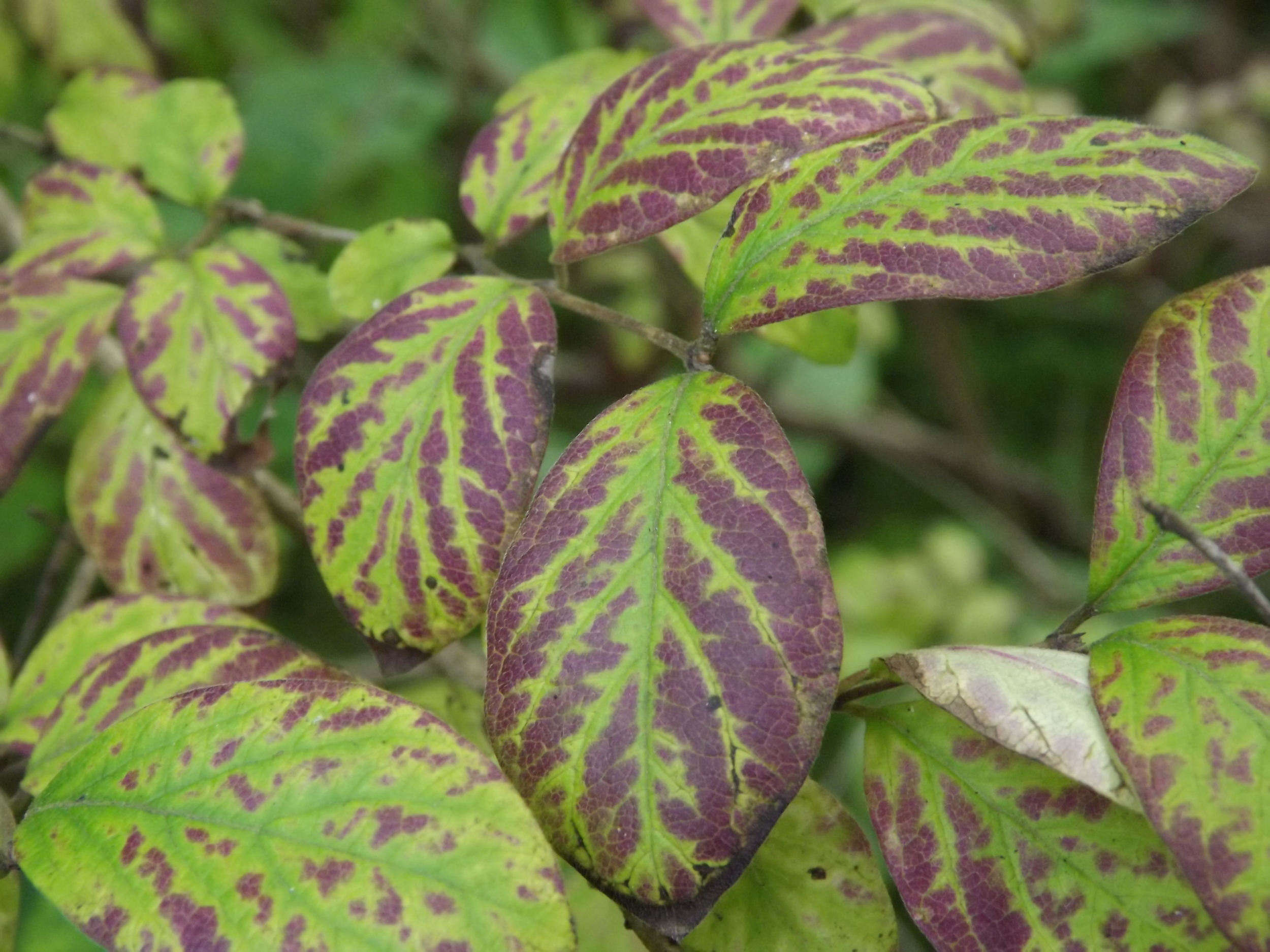 Viburnum Leaves   Viburnum ????