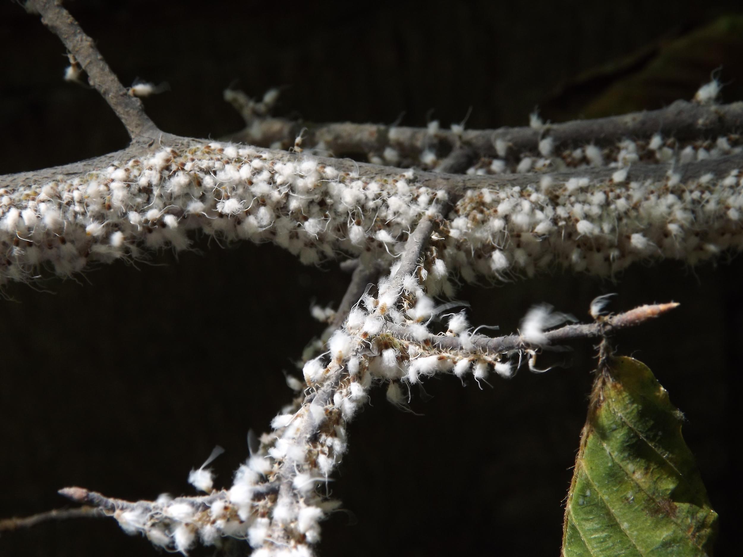 Beech Aphids   Grylloprociphilus imbricator