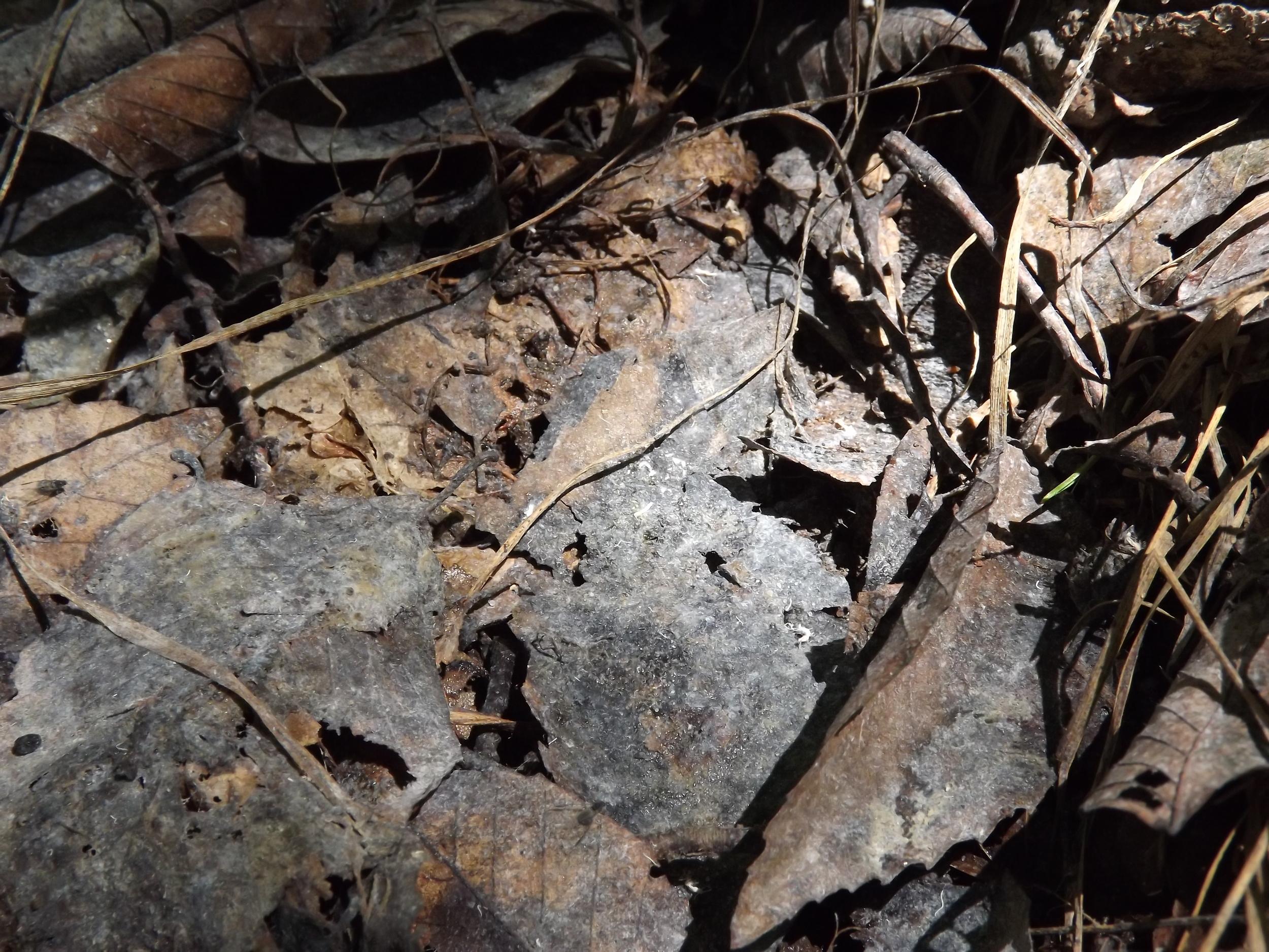 Beech Aphids Poop   Grylloprociphilus imbricator