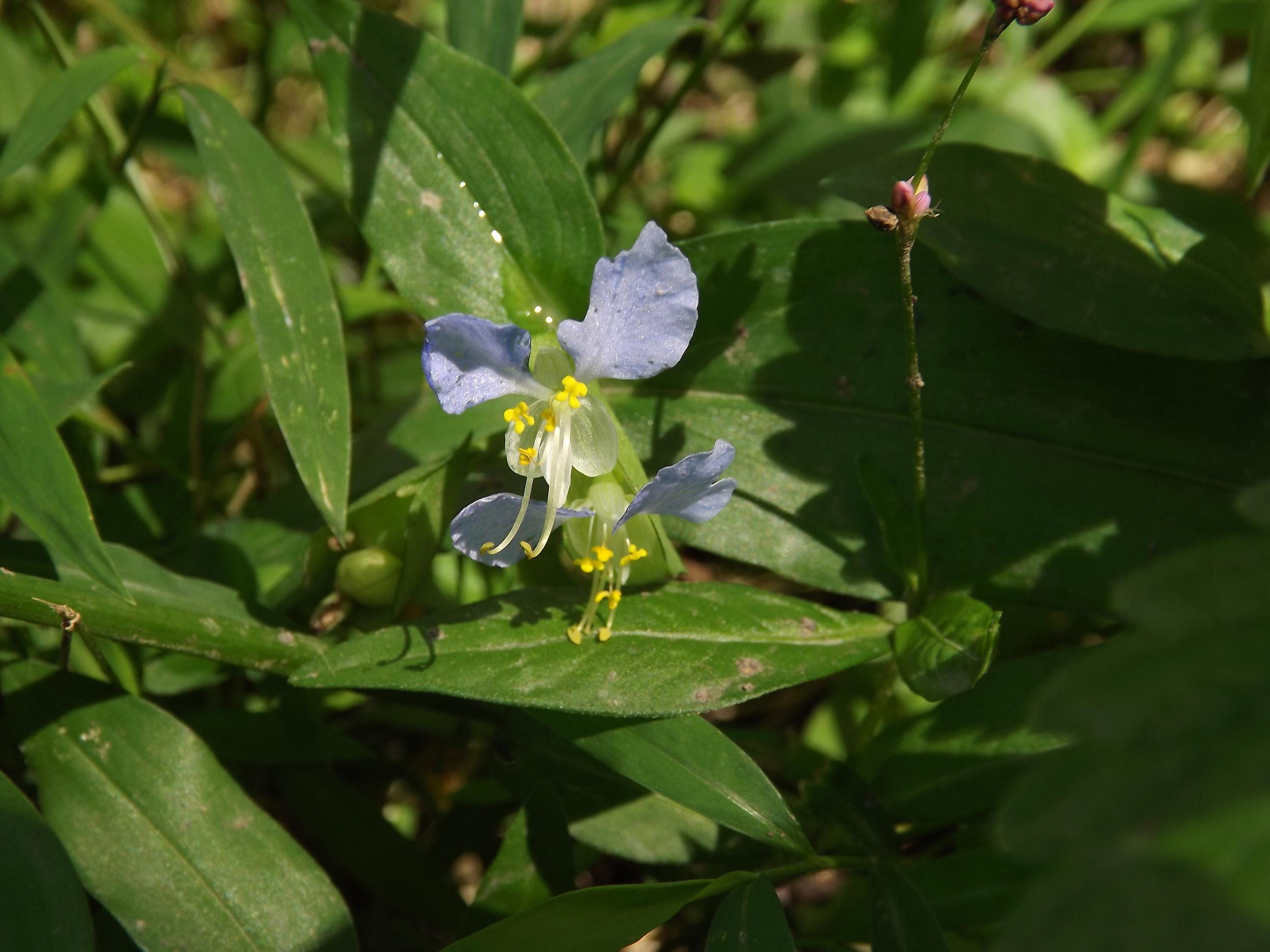 Asiatic Dayflower (Non Native)   Commelina communis