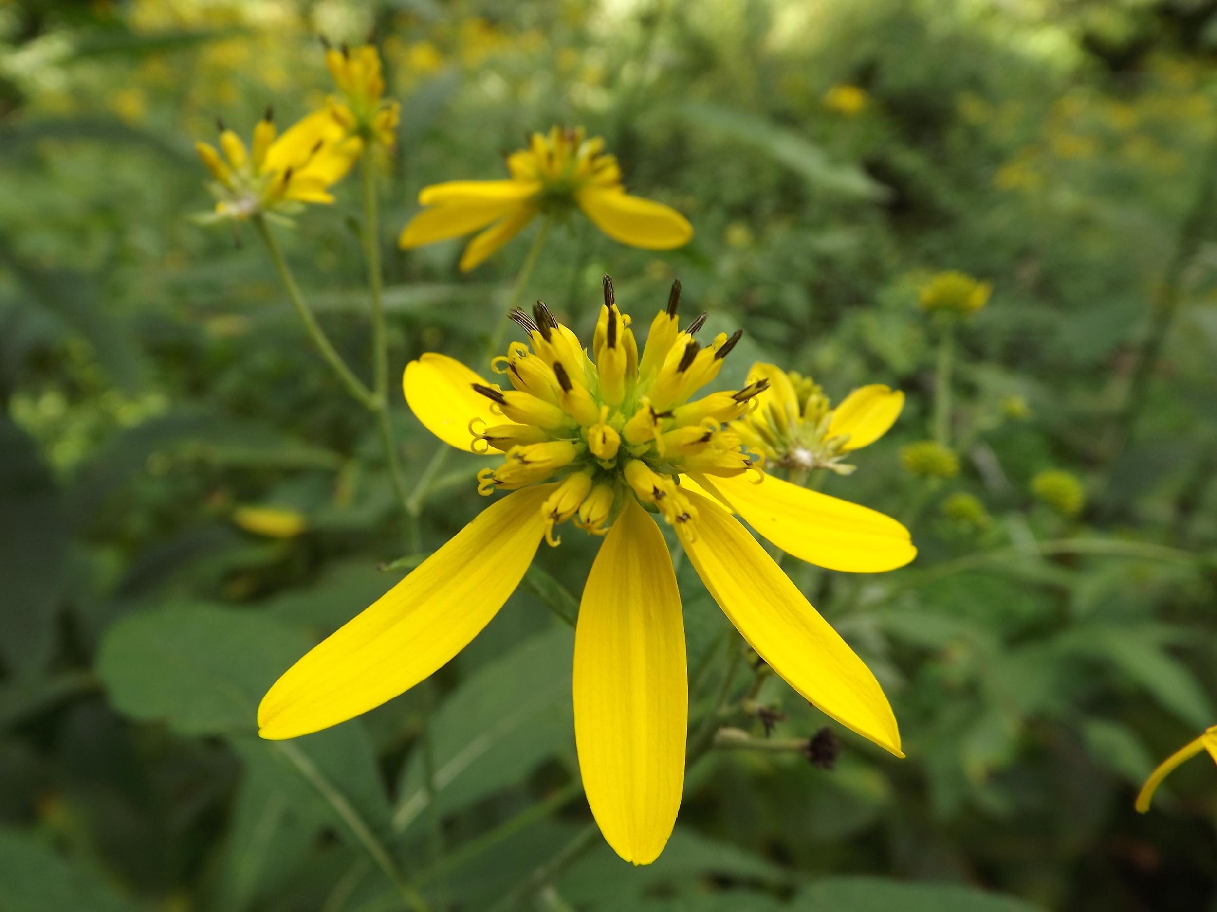 Yellow Ironweed   Verbesina alternifolia