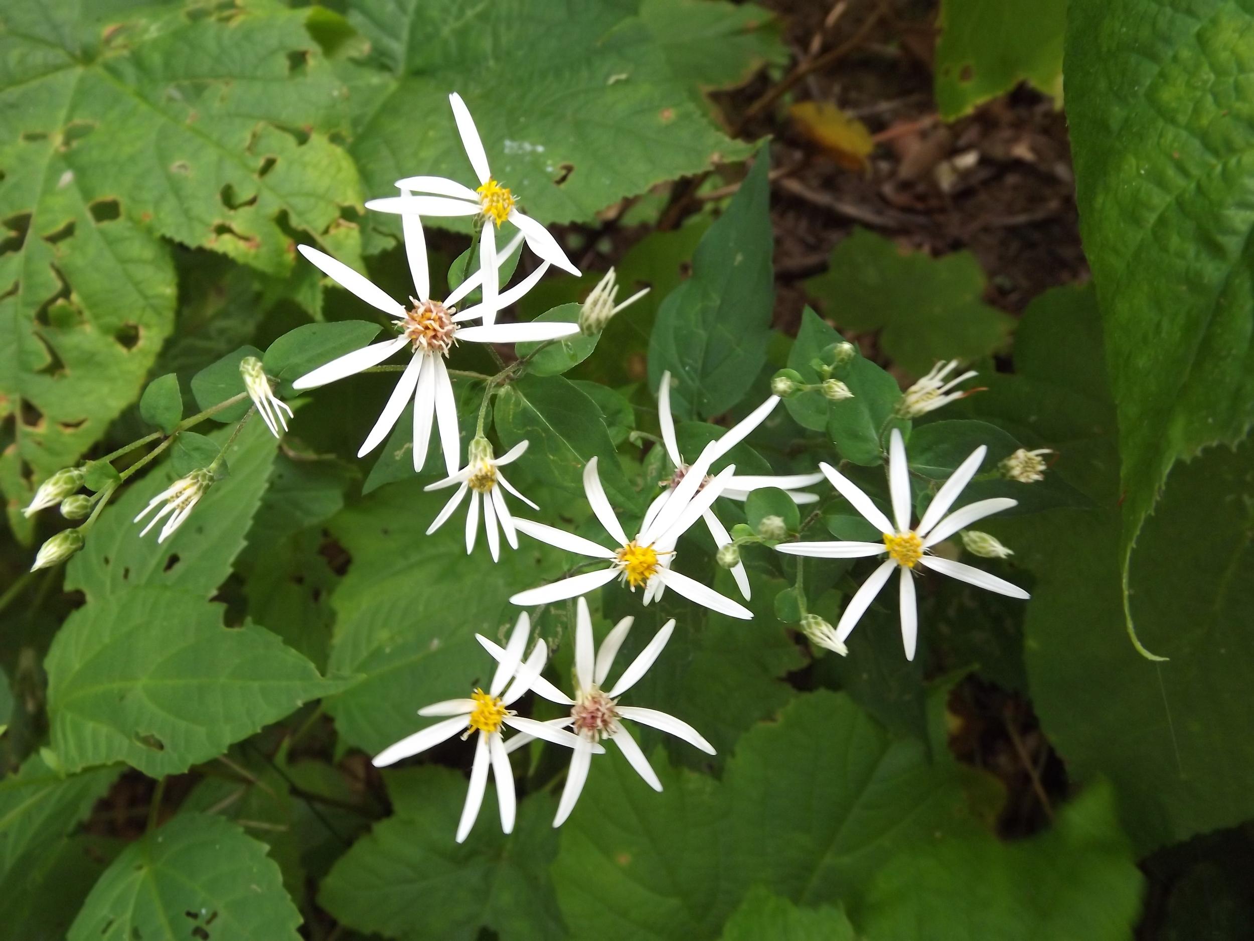 White Wood Aster   Eurybia divaricata