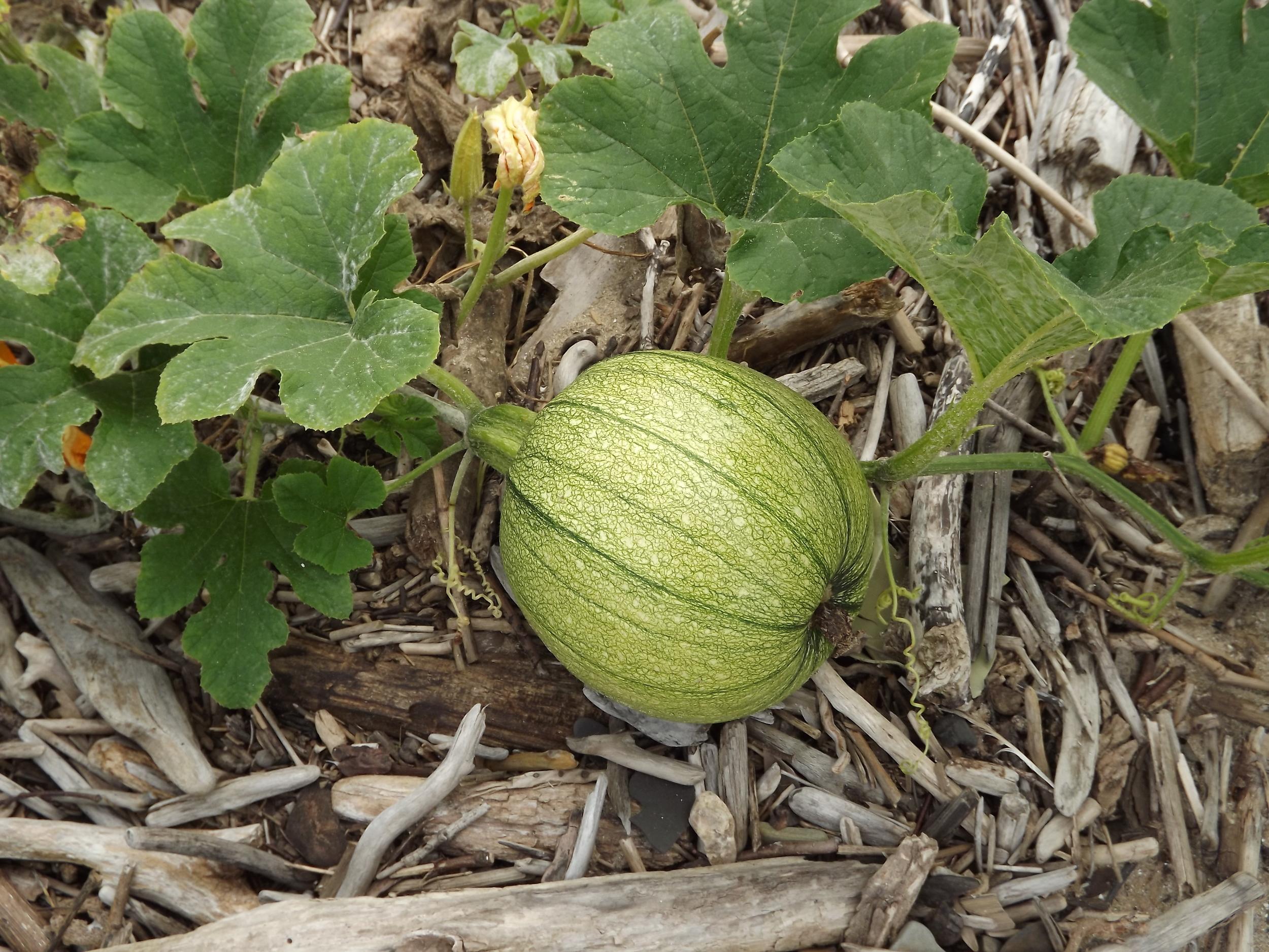 Pumpkin   CUCURBITA ????
