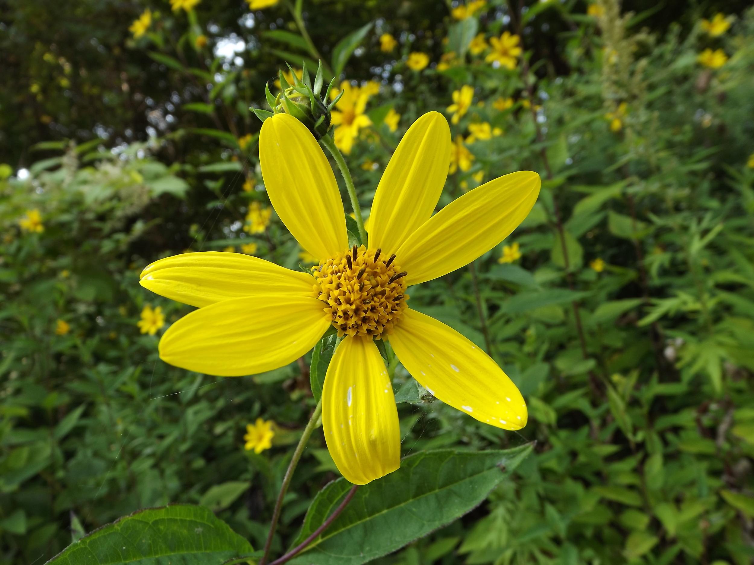 Woodland Sunflower   Helianthus divaricatu   s