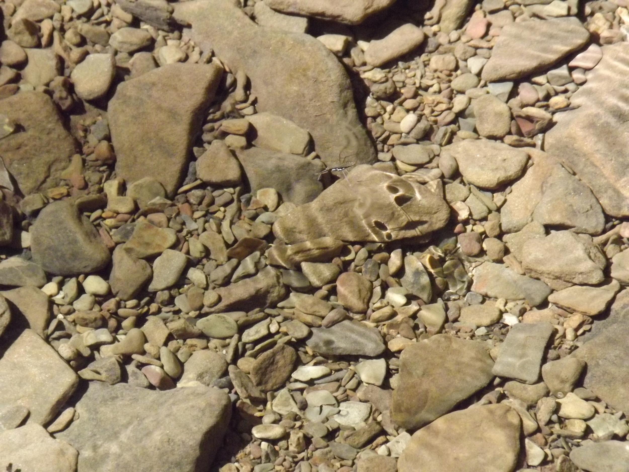 Common Water Strider   Gerris lacustris