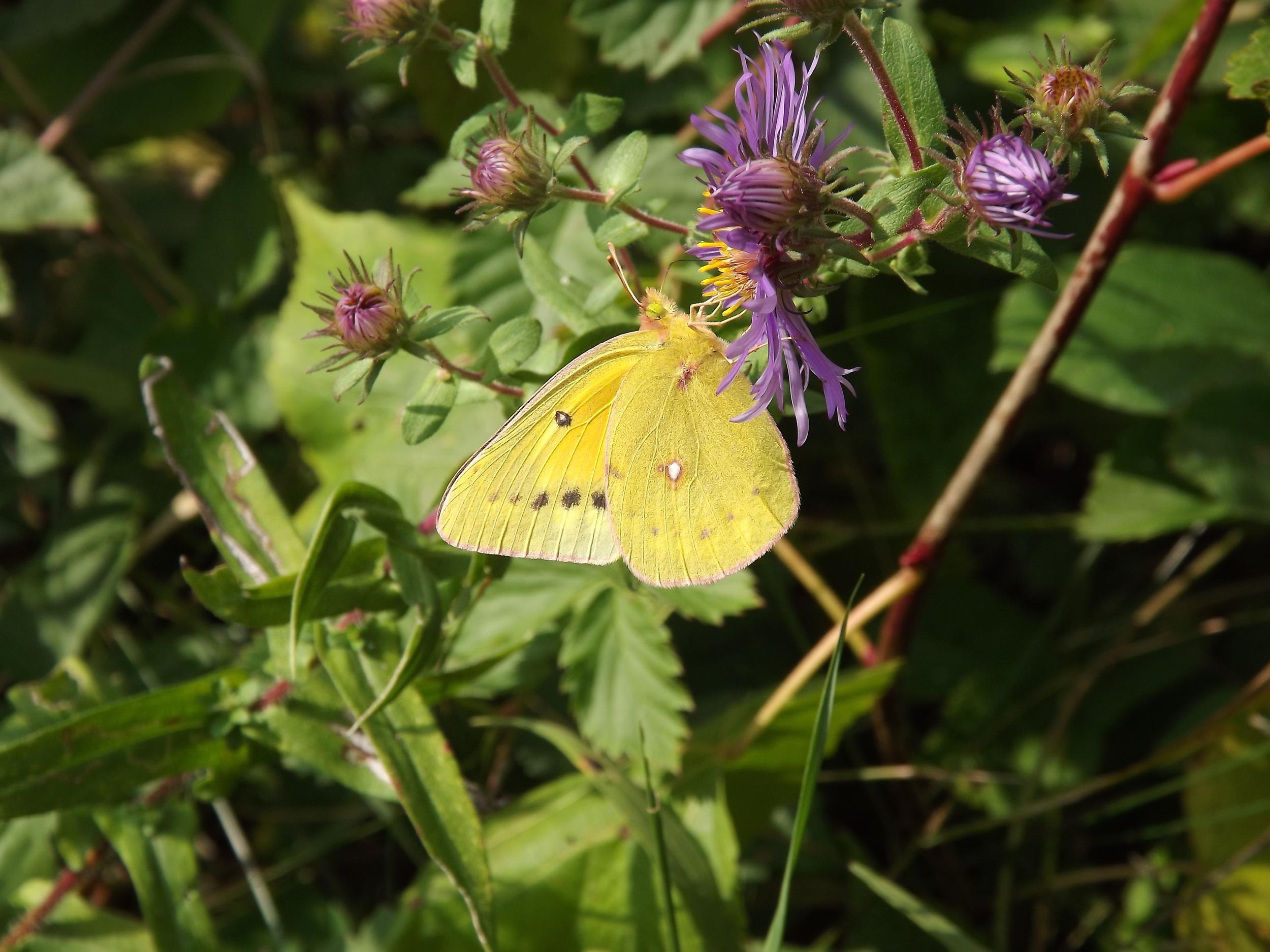 Cloudless Sulphur Butterfly   Phoebis sennae