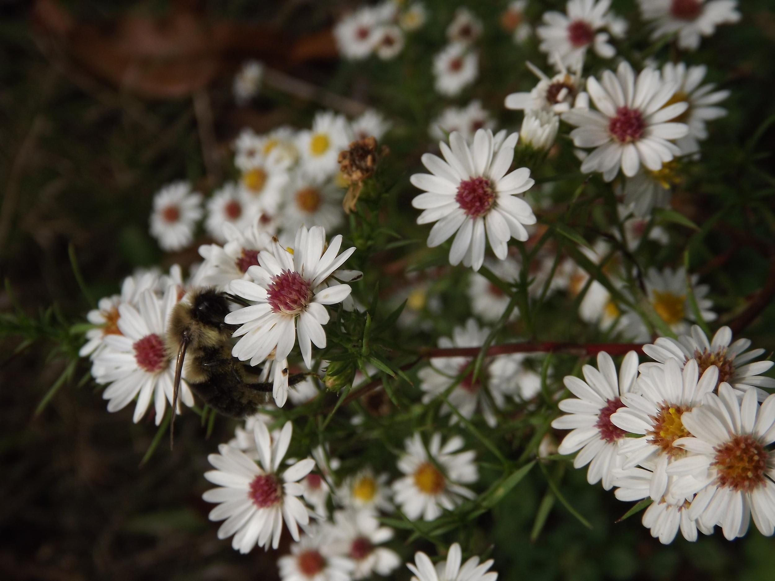 White Heath Aster  Symphyotrichum ericoides