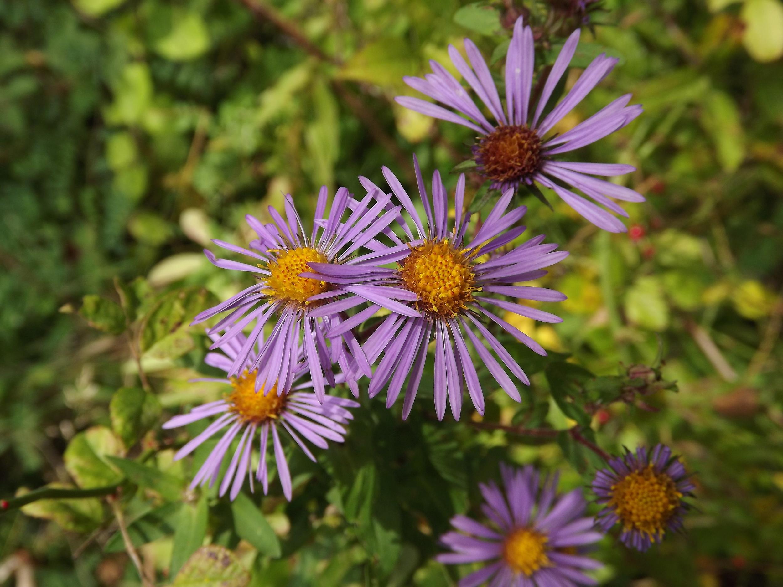 New England Aster   Symphyotrichum novae-angliae
