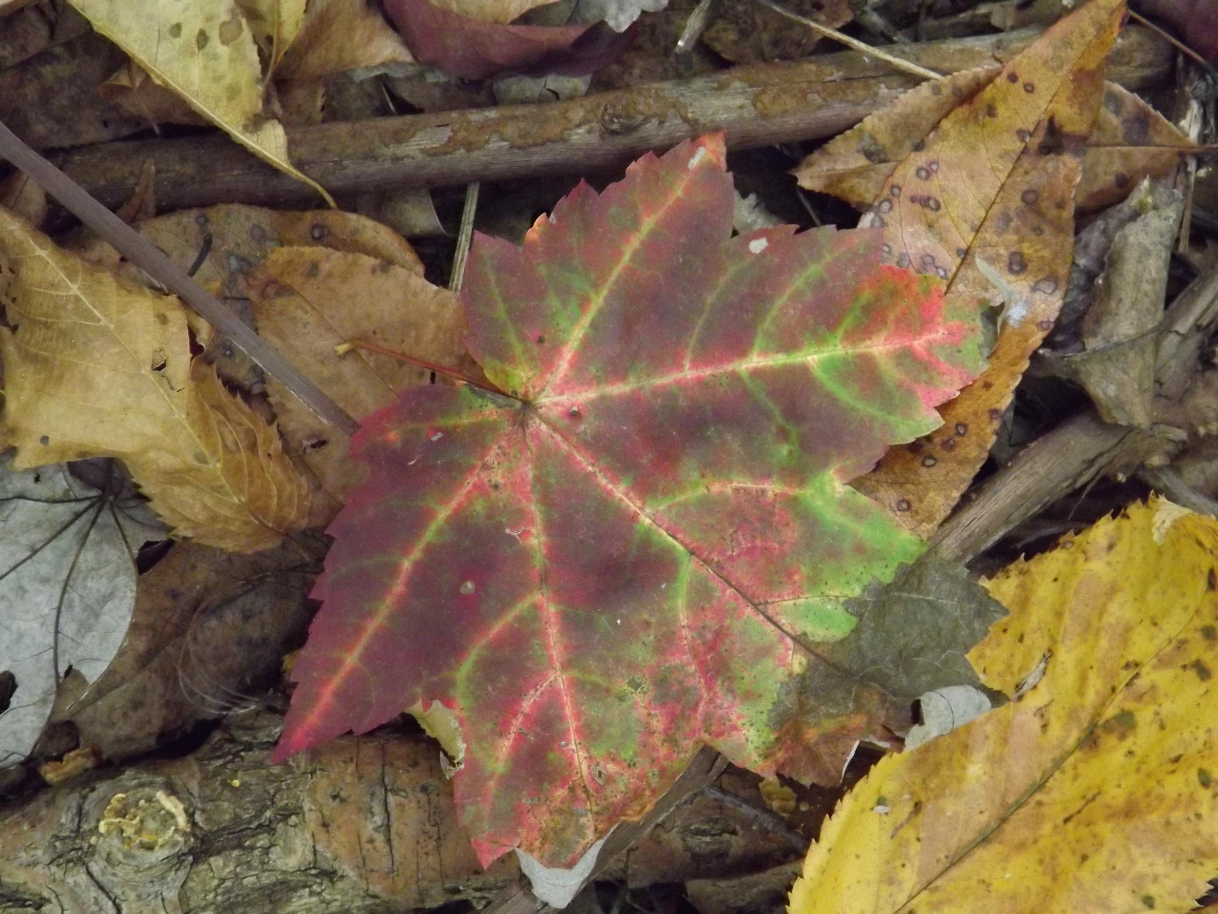 Red Maple Leaf   Acer rubrum