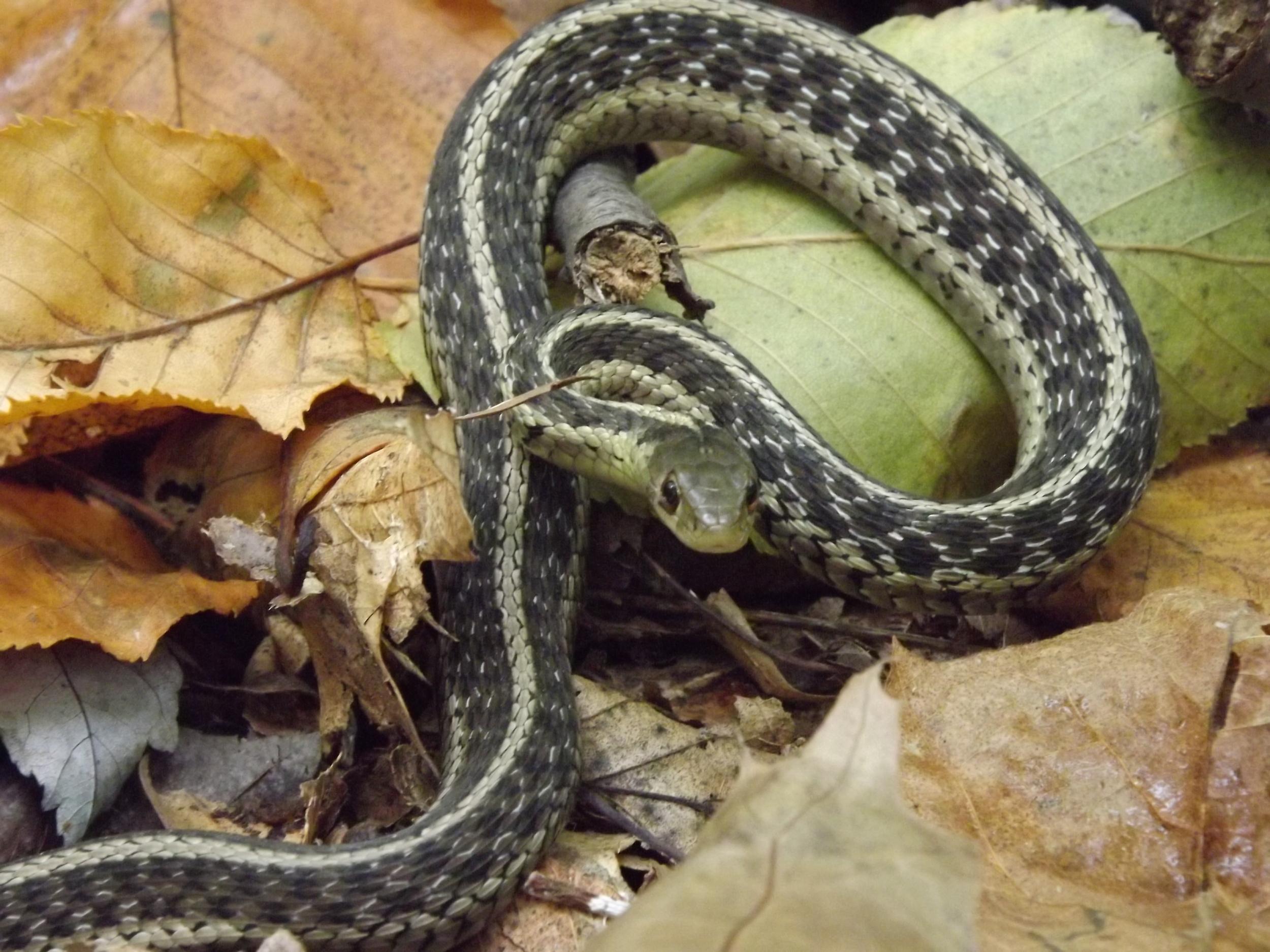 Eastern Garter Snake   Thamnophis sirtalis