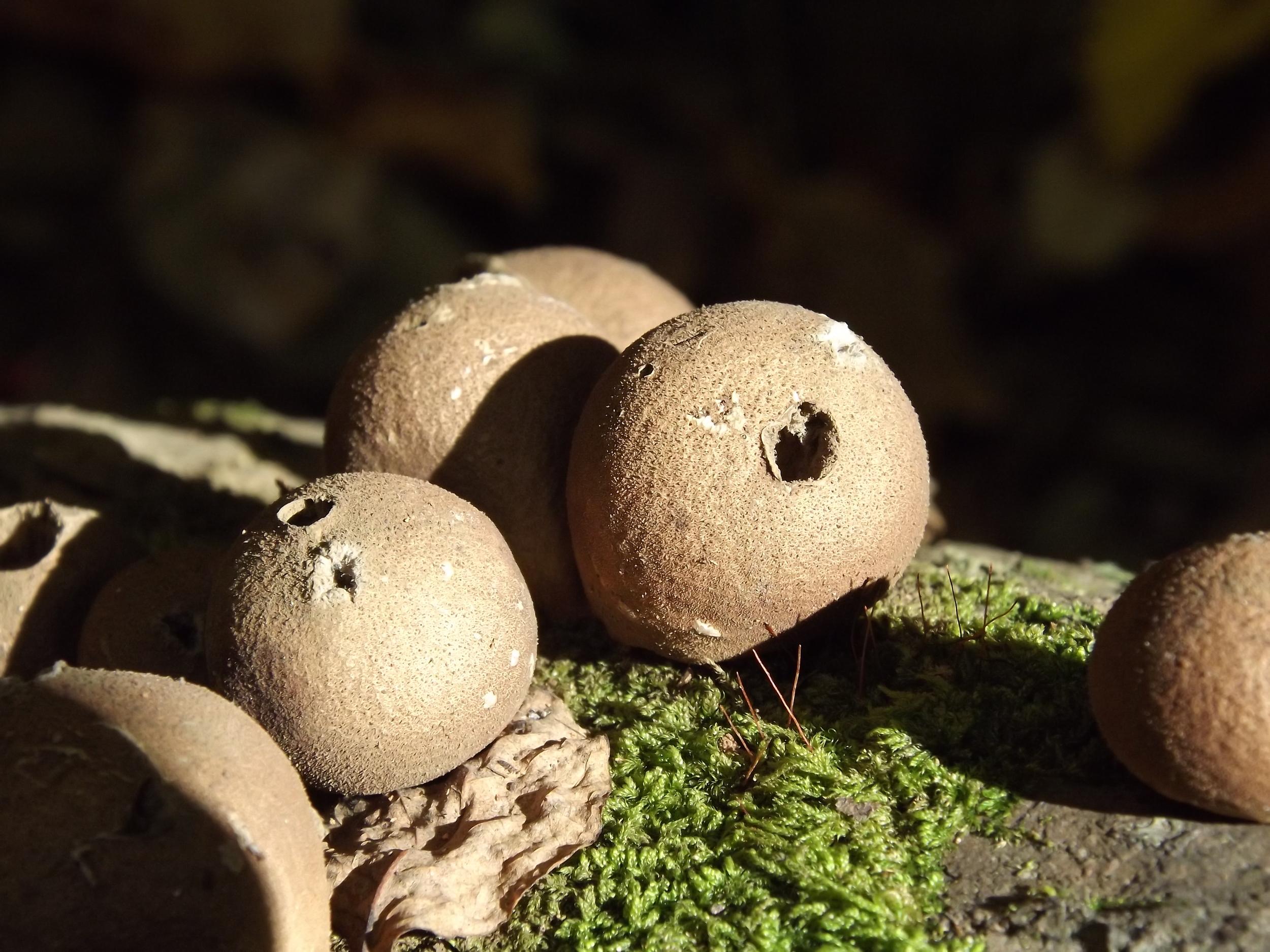 Pear Shaped Puffball   Lycoperdon pyriforme