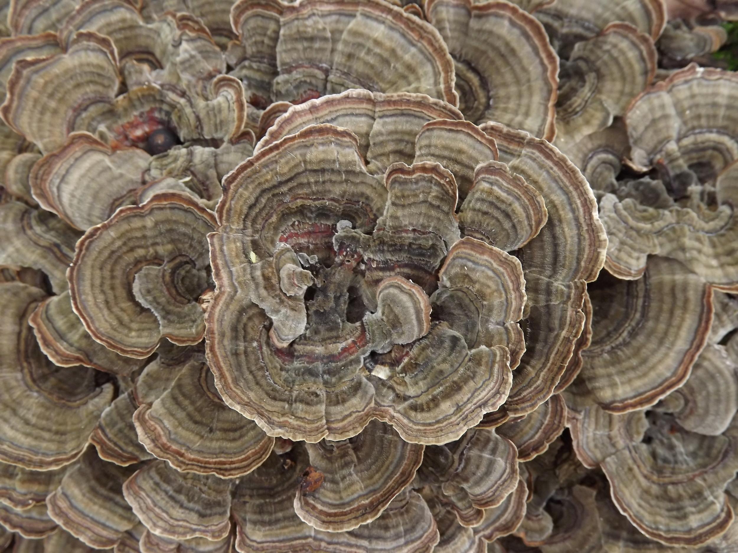 Turkeytail Mushroom   Trametes versicolor