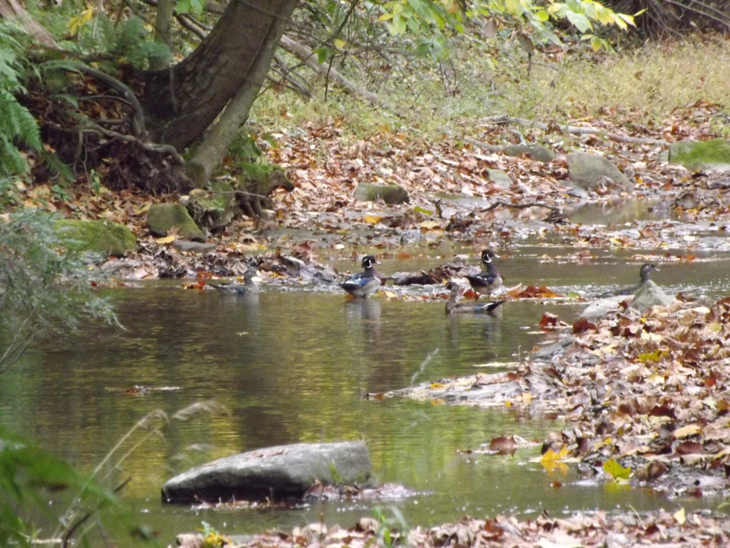 Wood Ducks   Aix sponsa