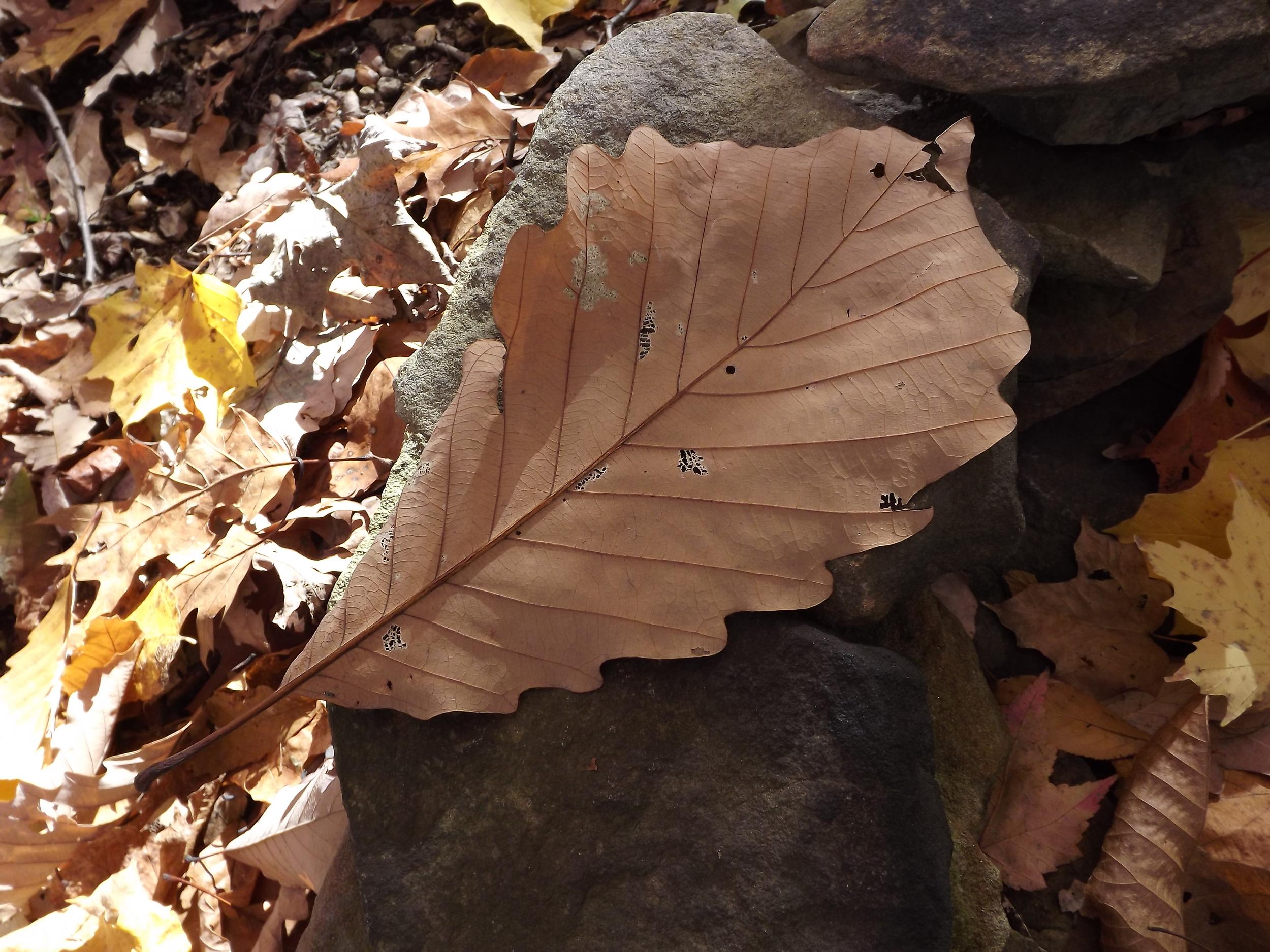 Chestnut Oak   Quercus prinus