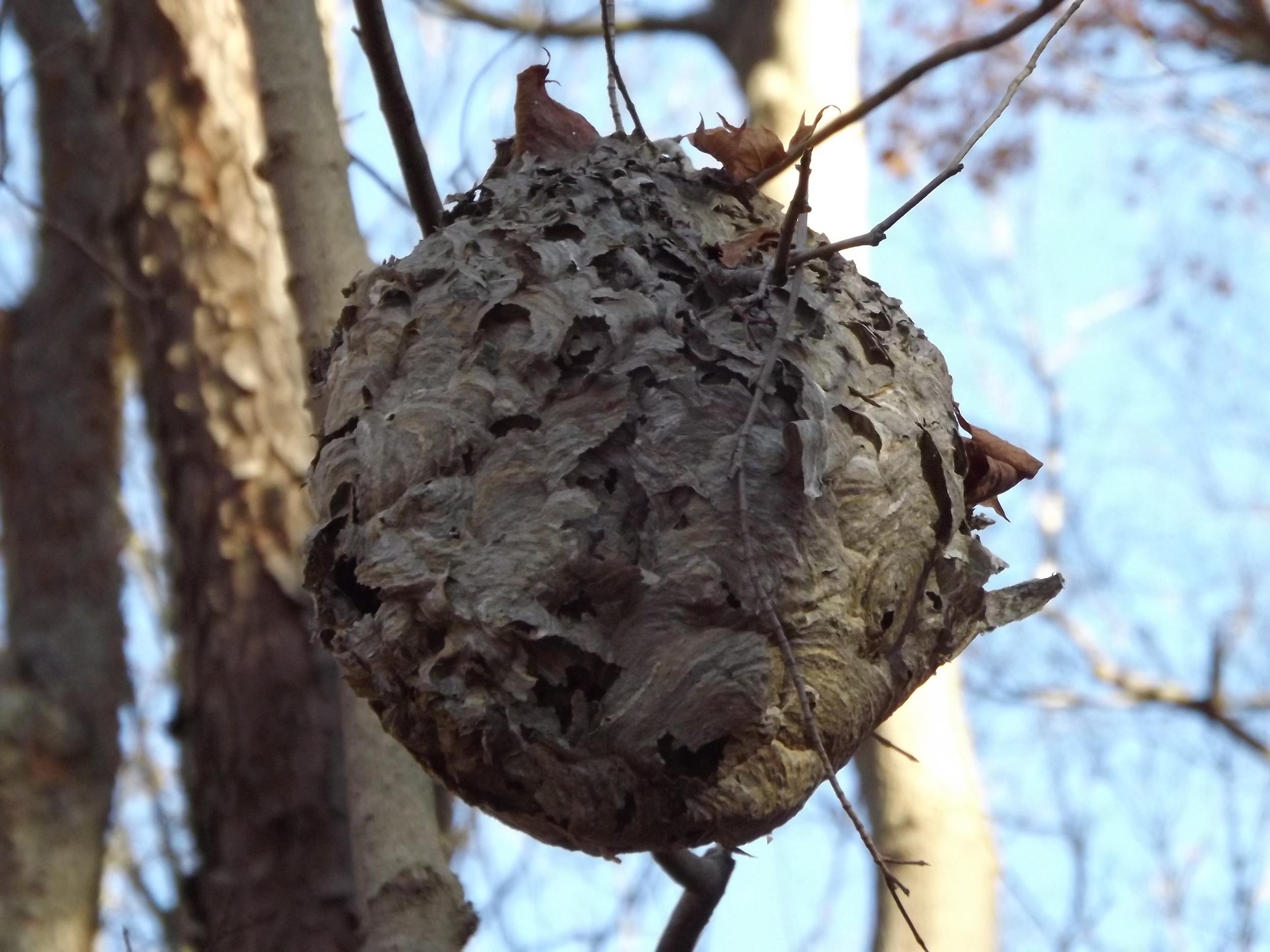 Paper Wasp Nest   Vespidae ????