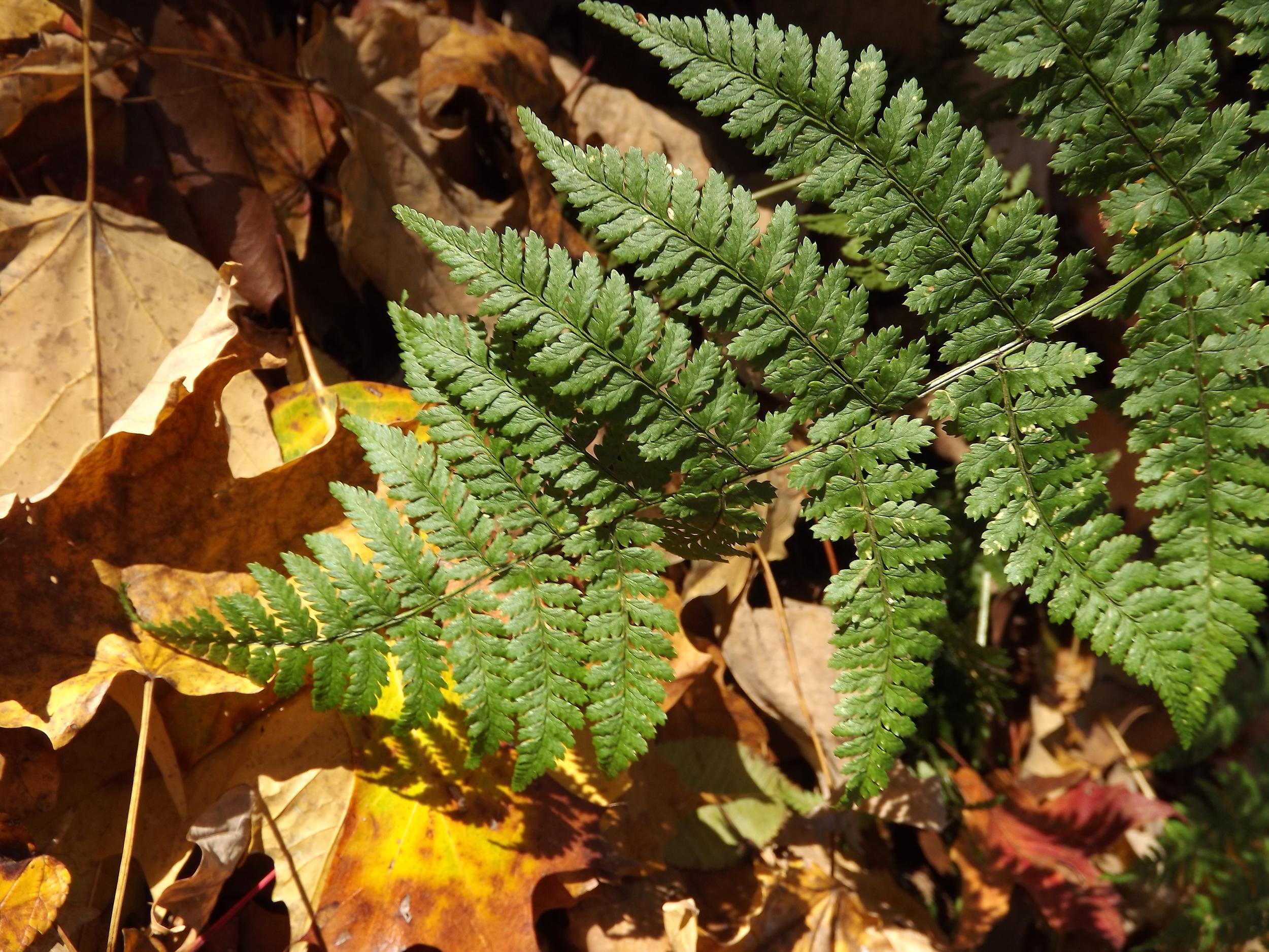 Spinulose Wood Fern   Dryopteris carthusiana
