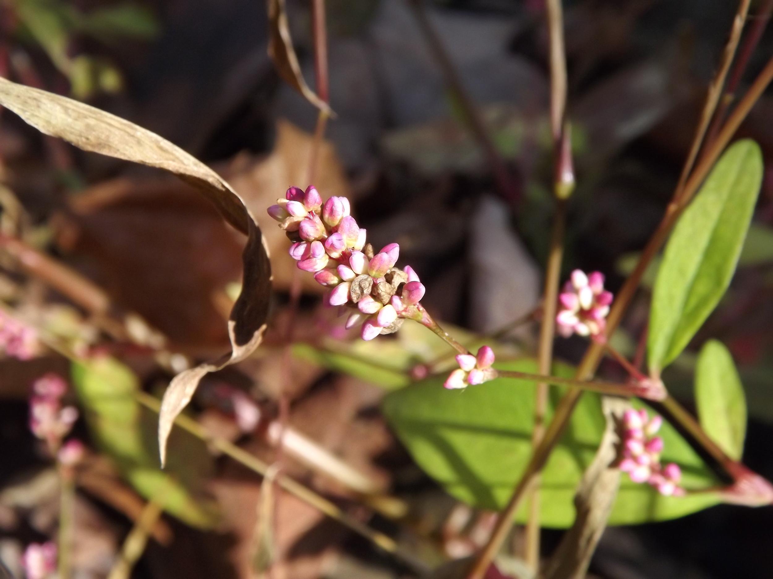 Pennsylvania Smartweed   Polygonum pensylvanicum