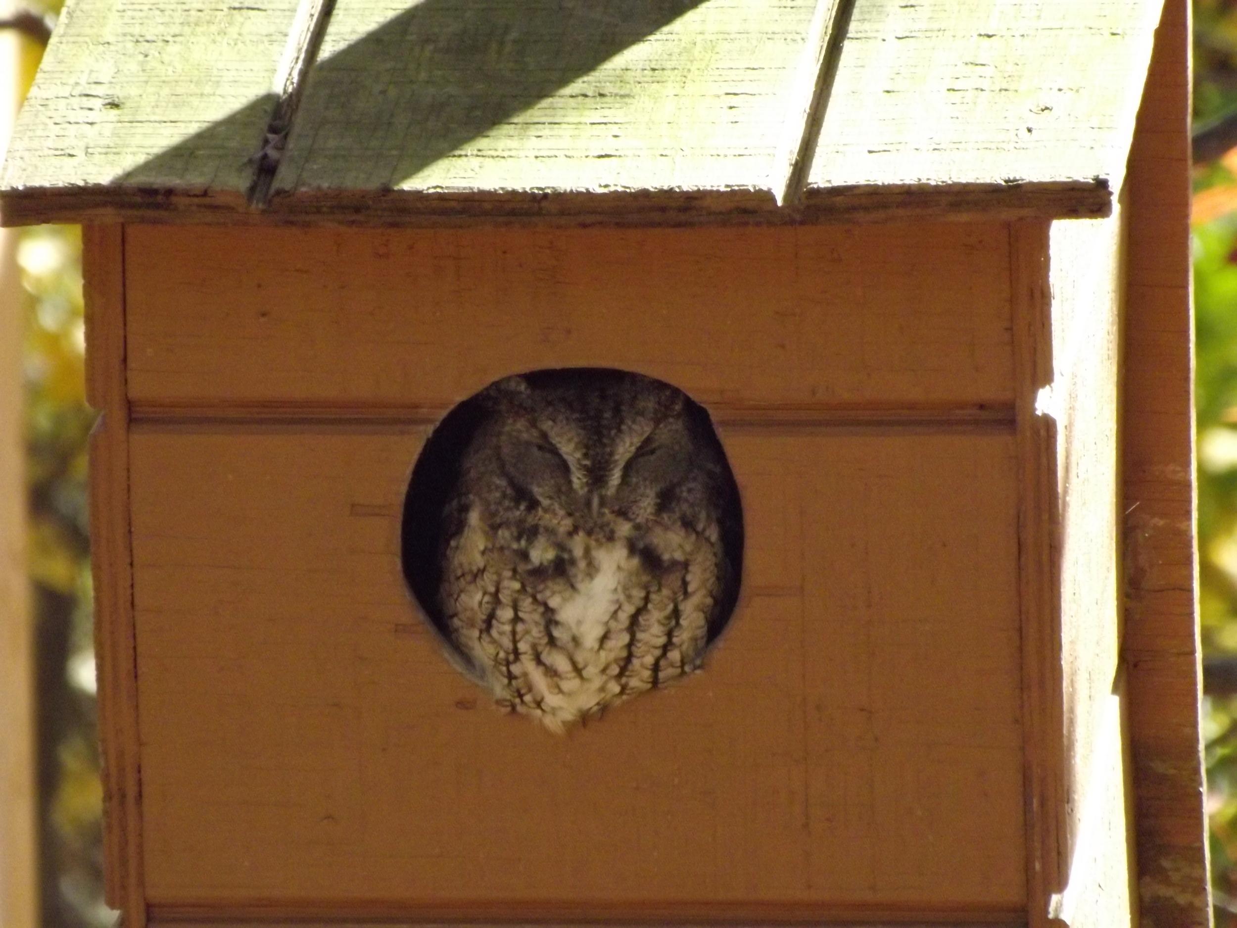 Eastern Screech Owl   Megascops asio