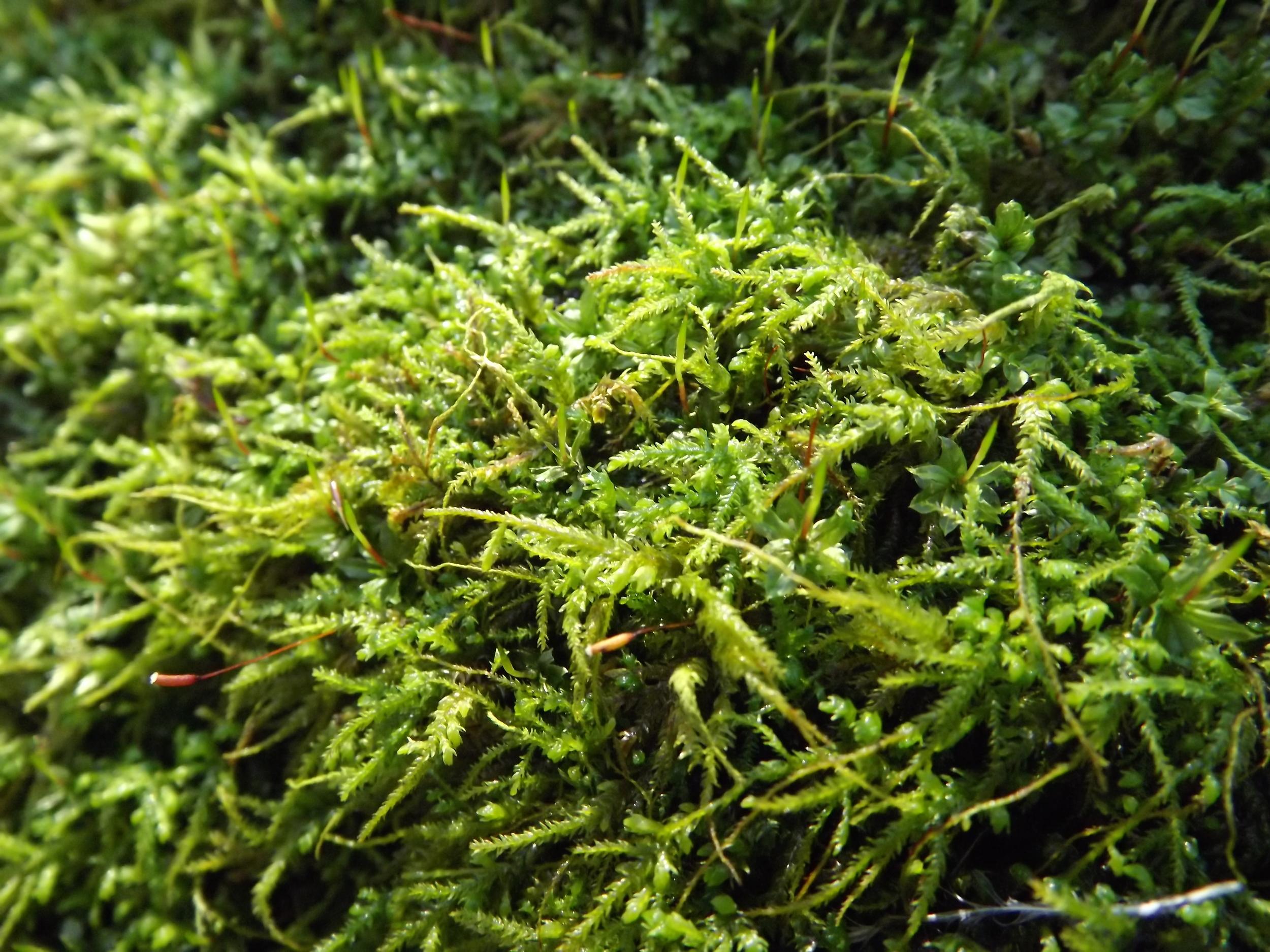 Brachythecium Moss   Brachythecium reflexum