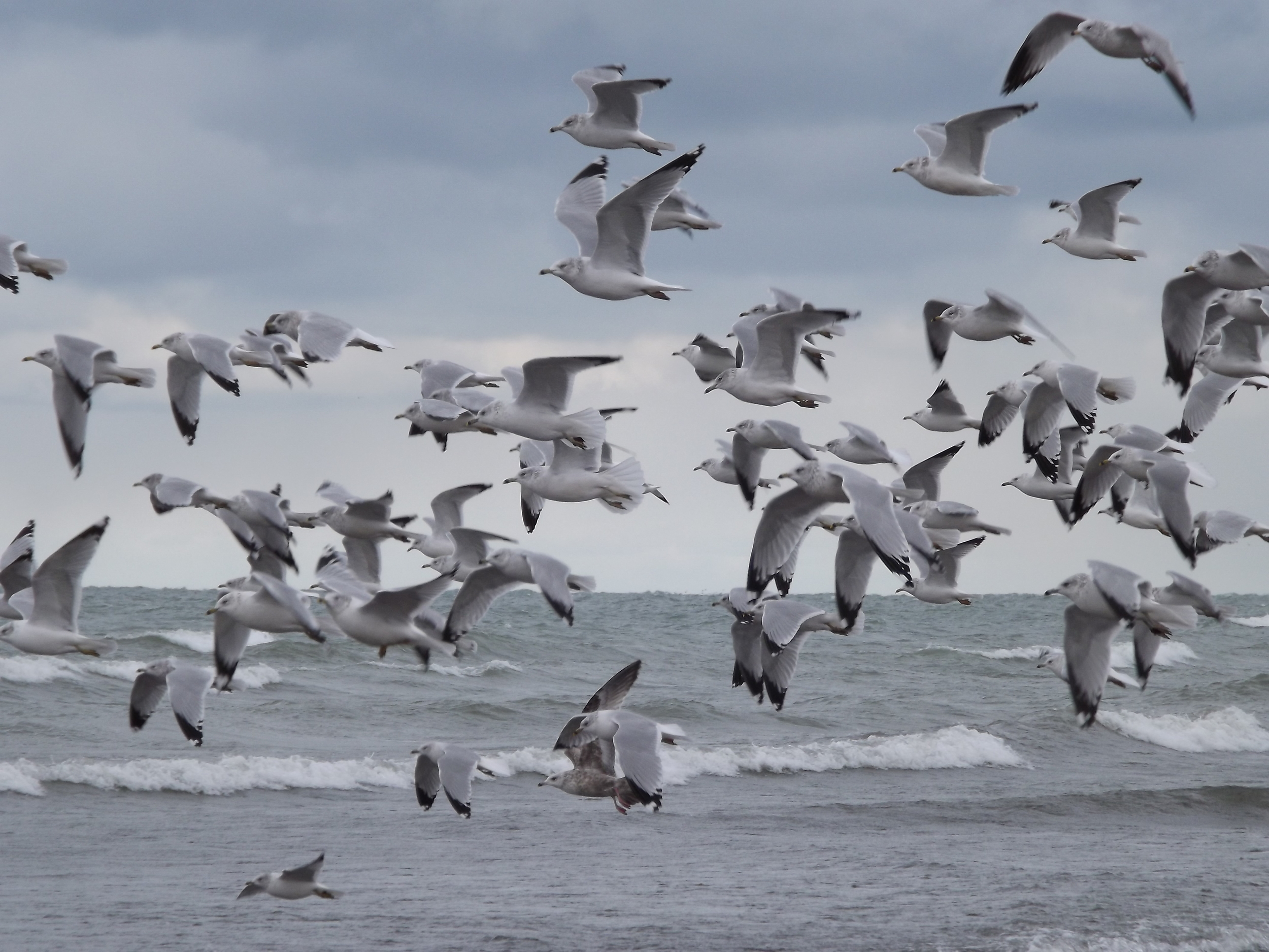 Gulls in the Wind