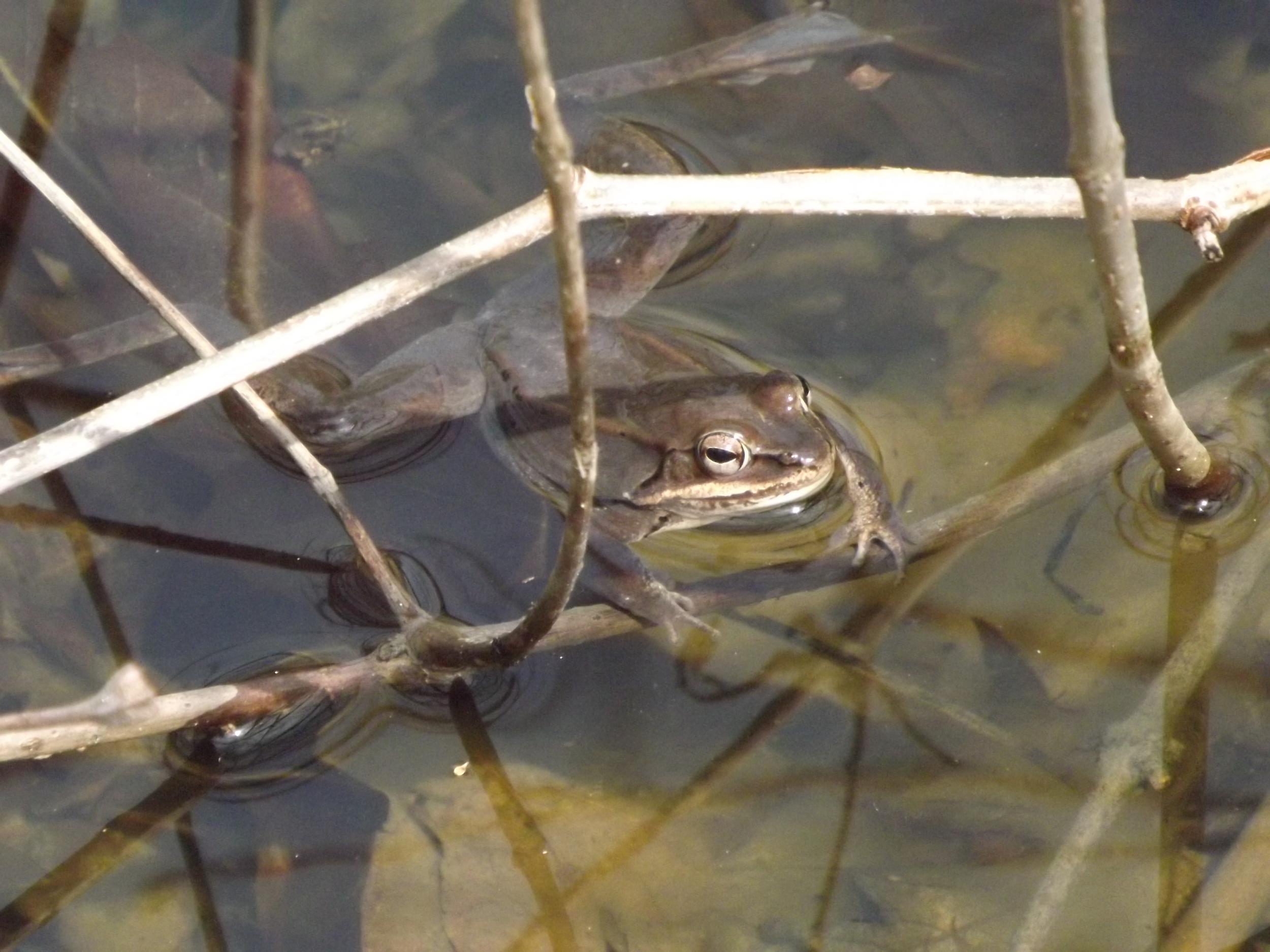 American Bullfrog ( Lithobates catesbeianus )