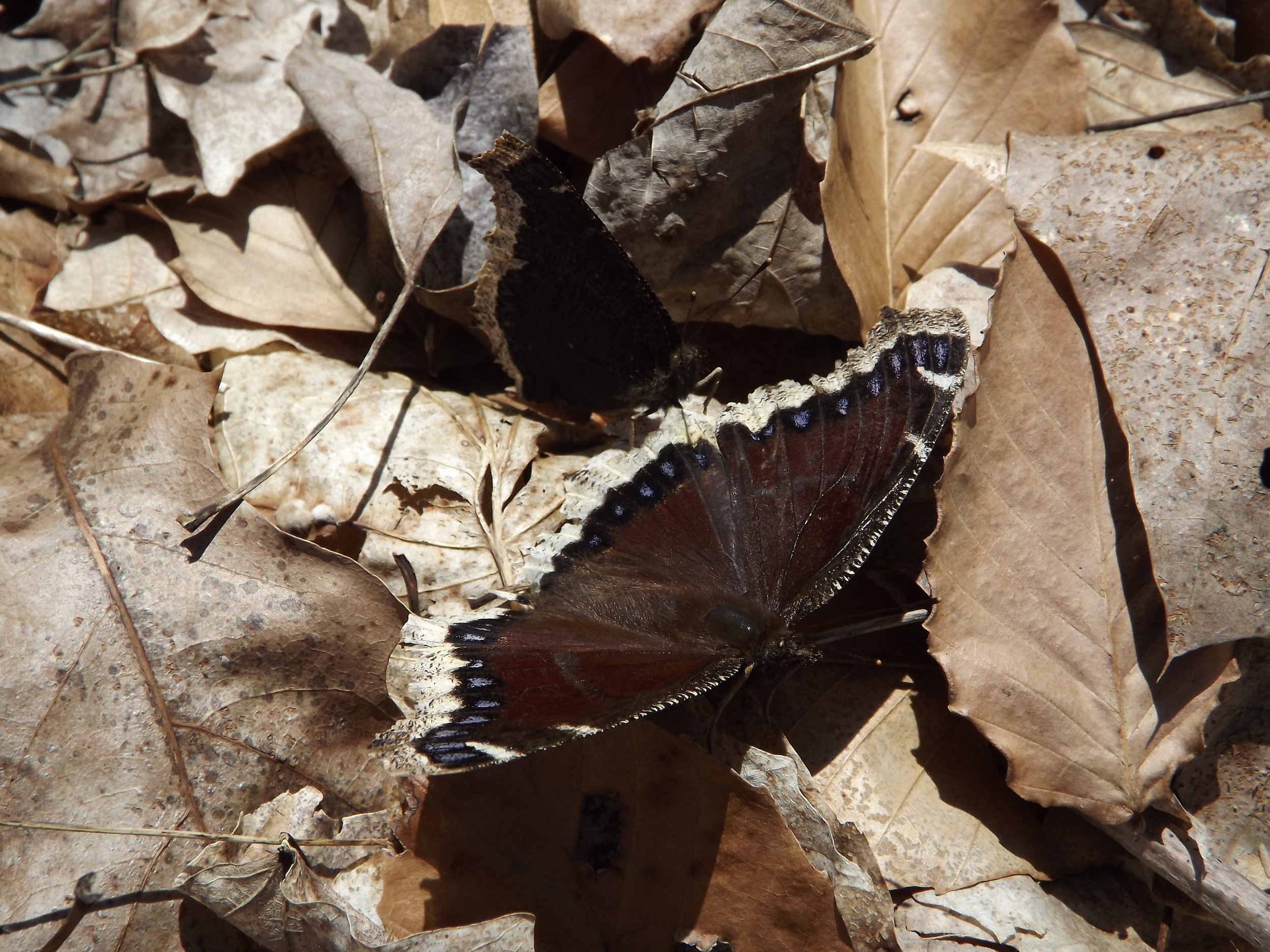 Mourning Cloak Butterfly ( Nymphalis antiopa ) - This is my first picture of Mourning Cloak butterflies. I just happened spot the pair sunning themselves on the leaves and was lucky enough to get a photo when the one spread its wings. The other is in the shadows with its wings folded in an upright position.