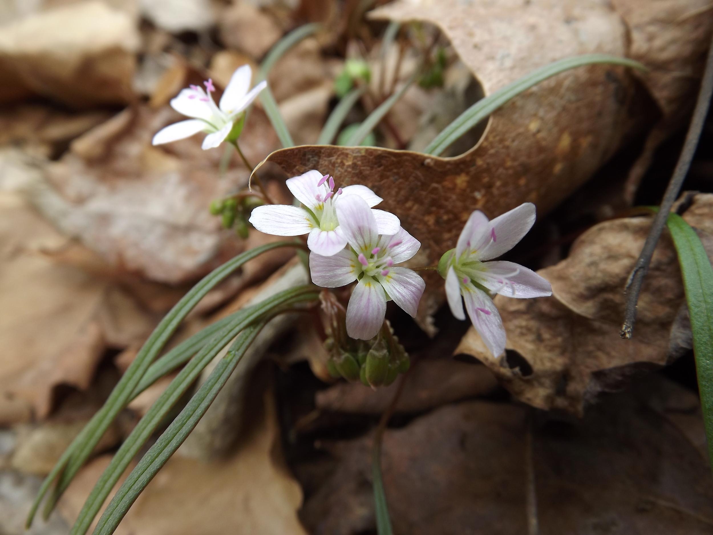 Eastern Spring Beauty ( Claytonia virginica )