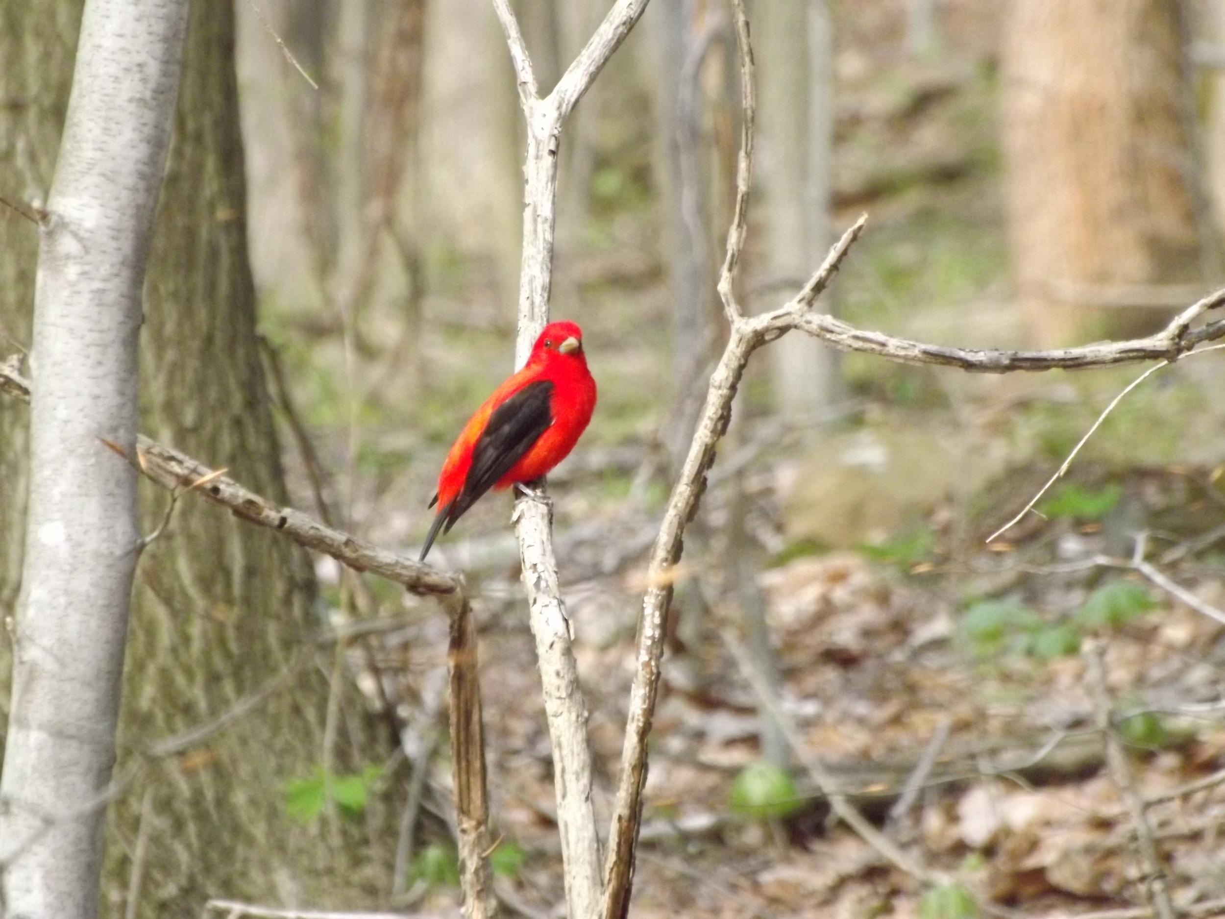 Scarlet Tanager ( Piranga olivacea )