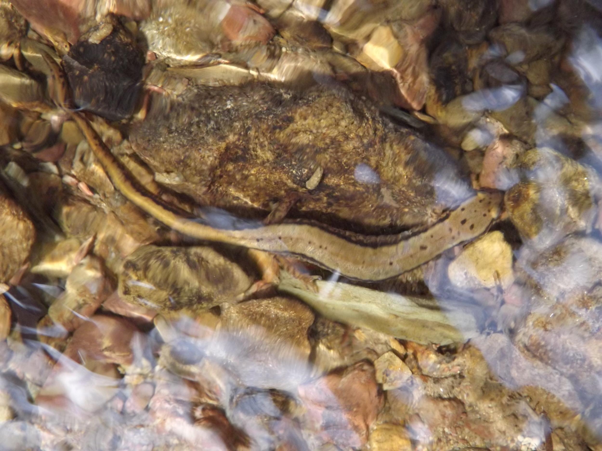 Northern Two-Lined Salamander ( Eurycea bislineata )