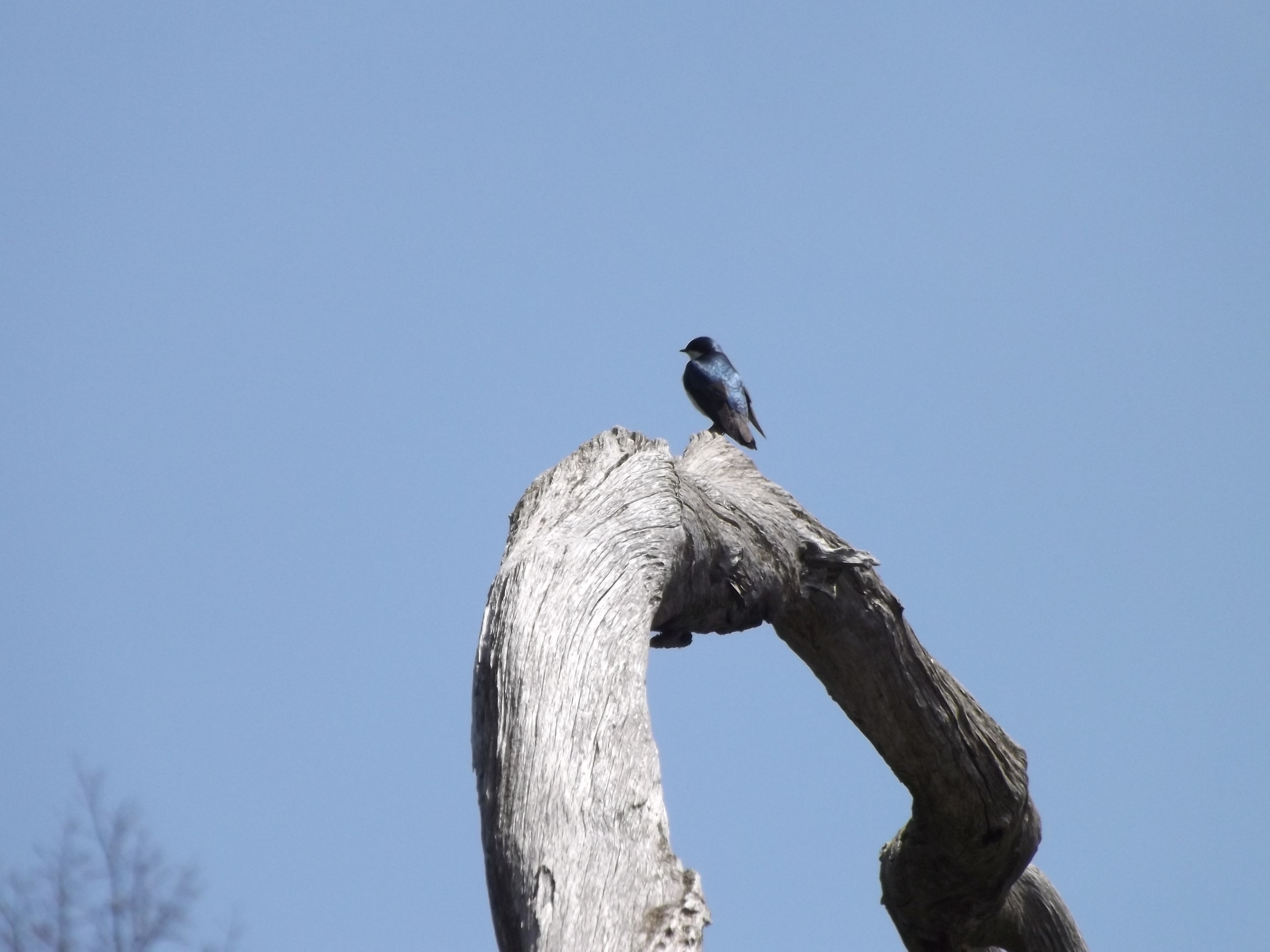 Tree Swallow ( Tachycineta bicolor ) -  This Tree Swallow perched on top of a large, long dead tree along the lake shore while my sister and I paddled by.  I really like the blue and black of the bird perched on the white-washed grey log with the brilliant blue sky in the background.