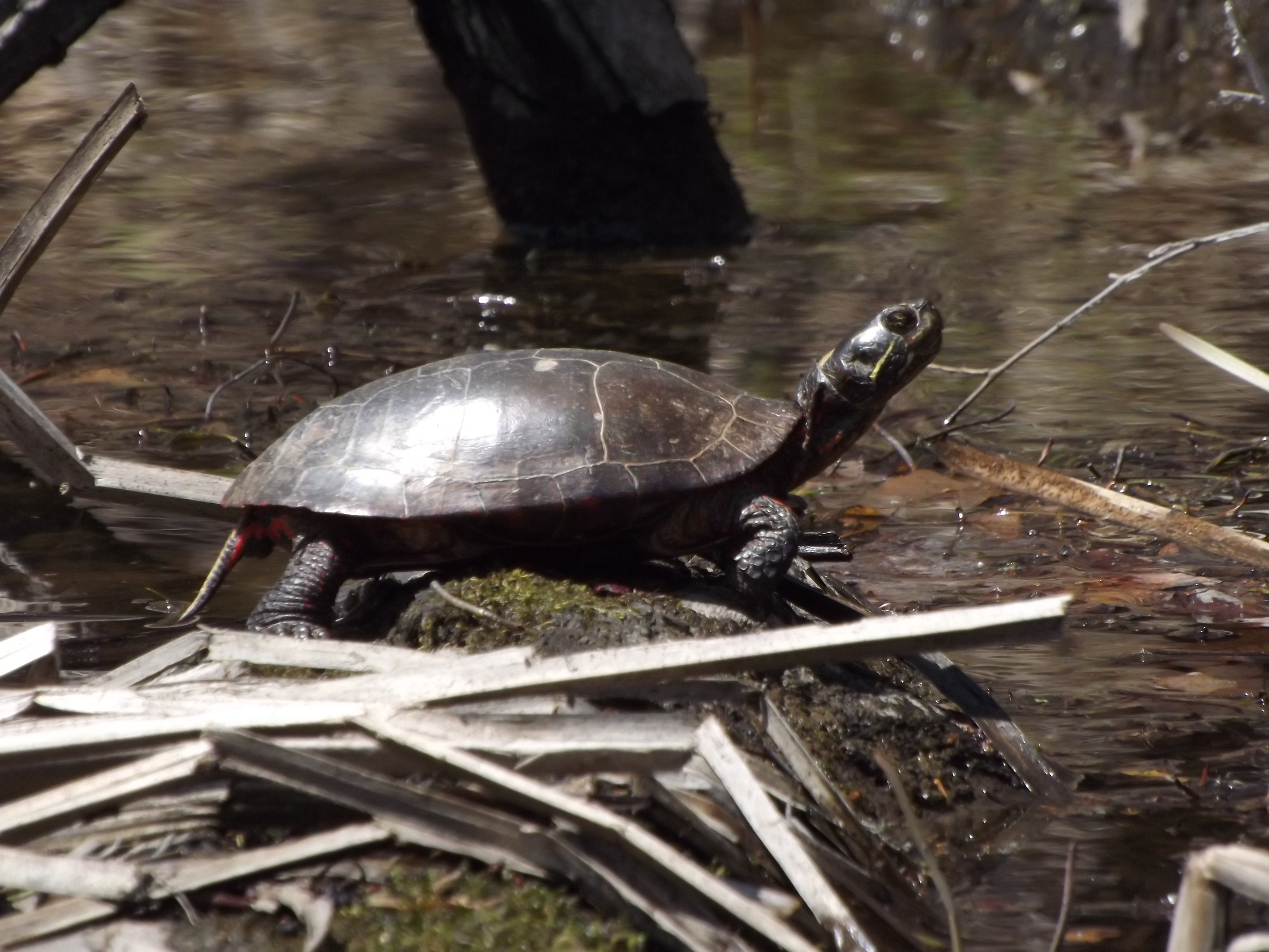 Painted Turtle ( Chrysemys picta )