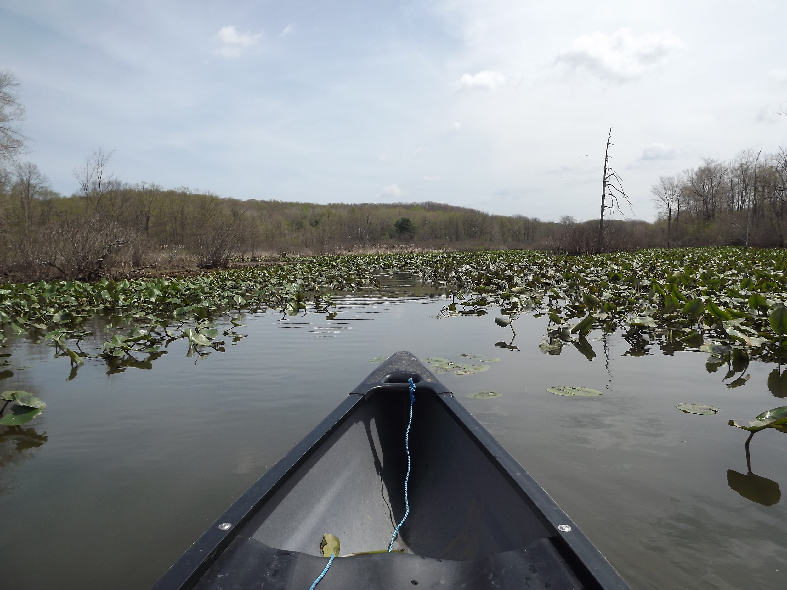 After portaging my canoe around the dam, we continued further into a swampy area.  The paddling was slow, but the lily pads weren't so dense we couldn't get through the first 100 yards or so.