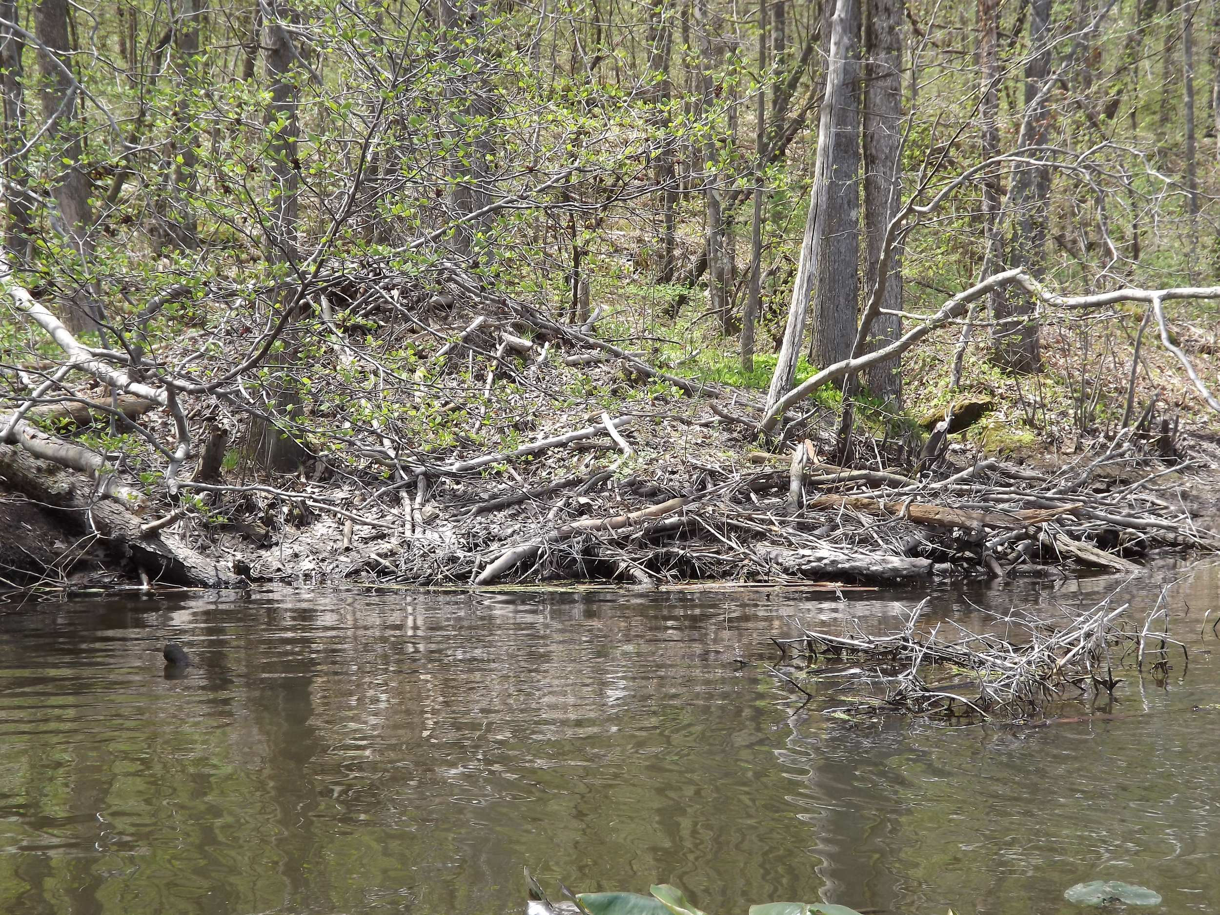 We found this Beaver lodge along the eastern shore above the dam.  The water was only a few feet deep and clear, but unfortunately we didn't see any Beaver.