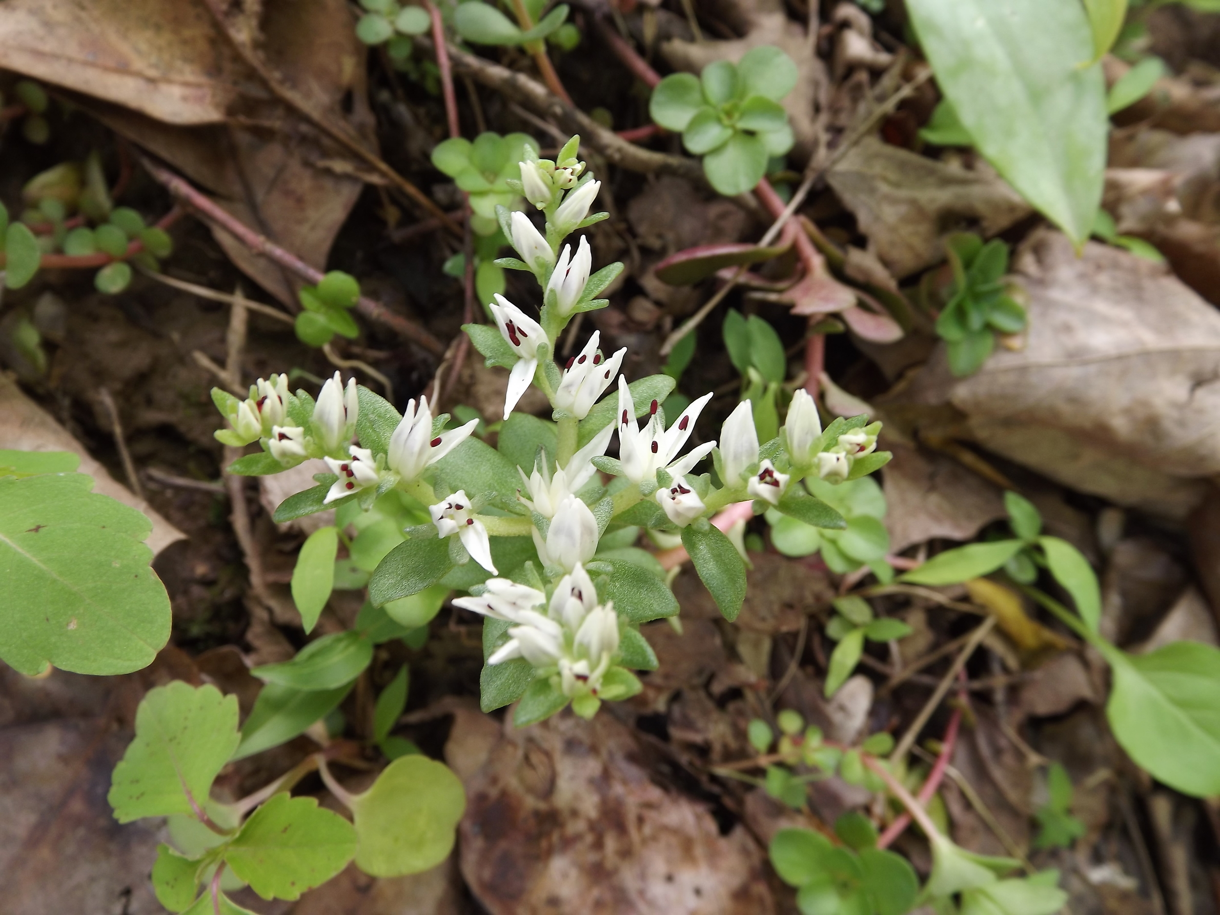"""Woodland Stonecrop ( Sedum ternatum ) - Woodland Stonecrop is a small """"cluster-like"""" flower that is very low to the ground and easy to miss. Woodland Stonecrop flowers are often found on rock outcroppings, hence their name."""