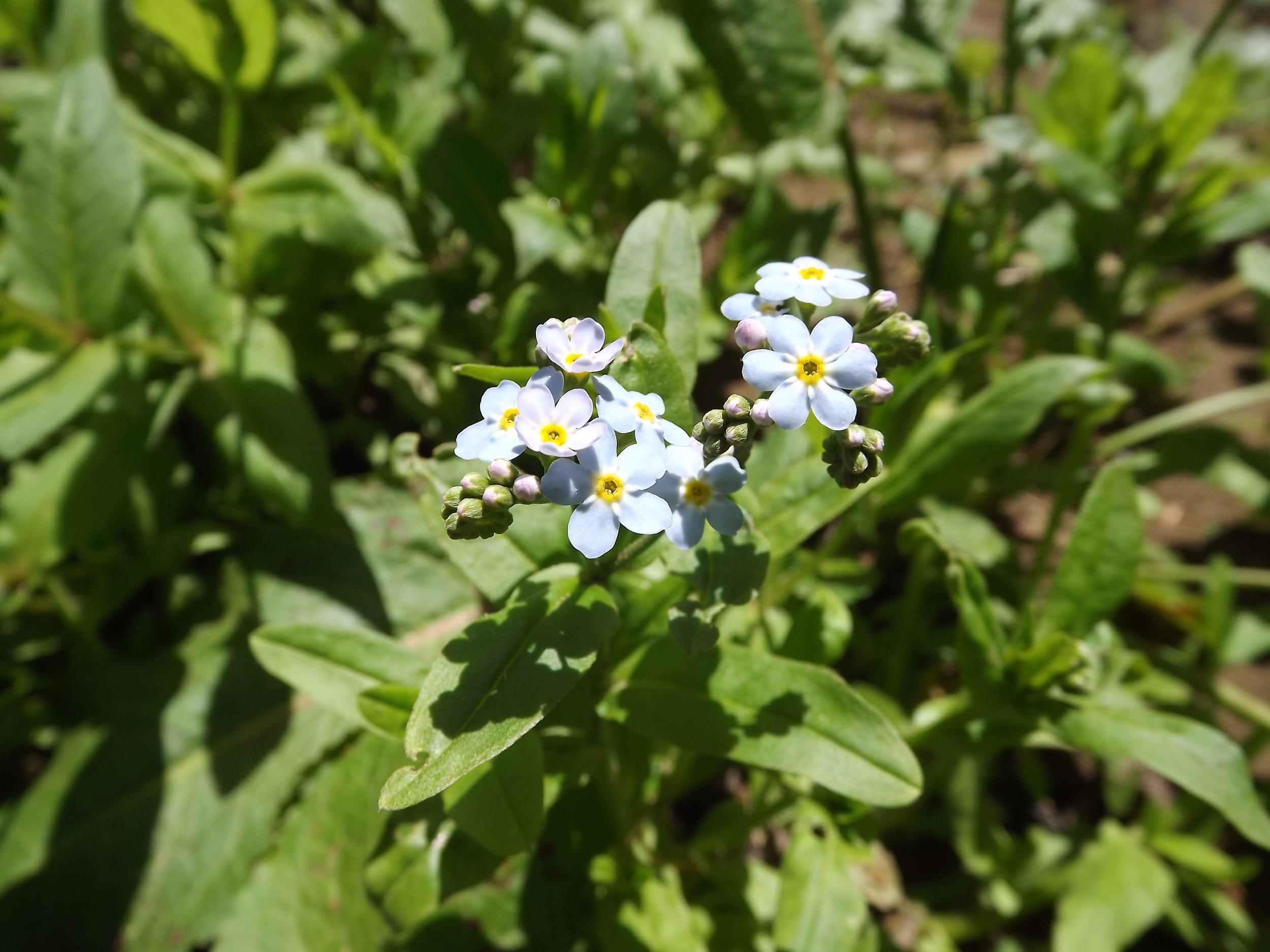 Small Flower Forget-Me-Nots ( Myosotis laxa ) - I'm starting to see more and more Small Flower Forget-Me-Nots along the stream and even on small alluvial islands formed in the stream itself. These tiny blue flowers are very pretty and one of the few Forget-Me-Nots native to our area. They are most definitely water lovers and can even grow in shallow water.
