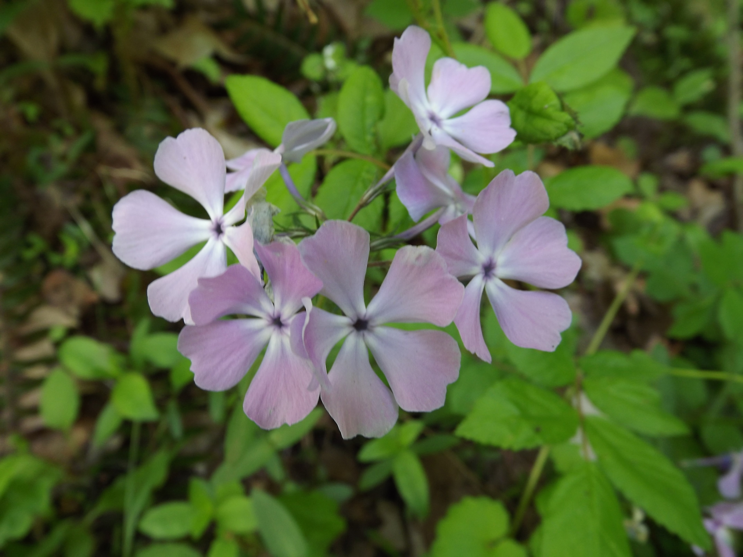 Wild Blue Phlox ( Phlox divaricata ) - Wild Blue Phlox, also known as Woodland Phlox, typically appears in the late spring and its large purplish-blue flowers easily recognizable. Many cultivated species are used in home landscaping, but the flowers are smaller and come in a greater variety of colors.