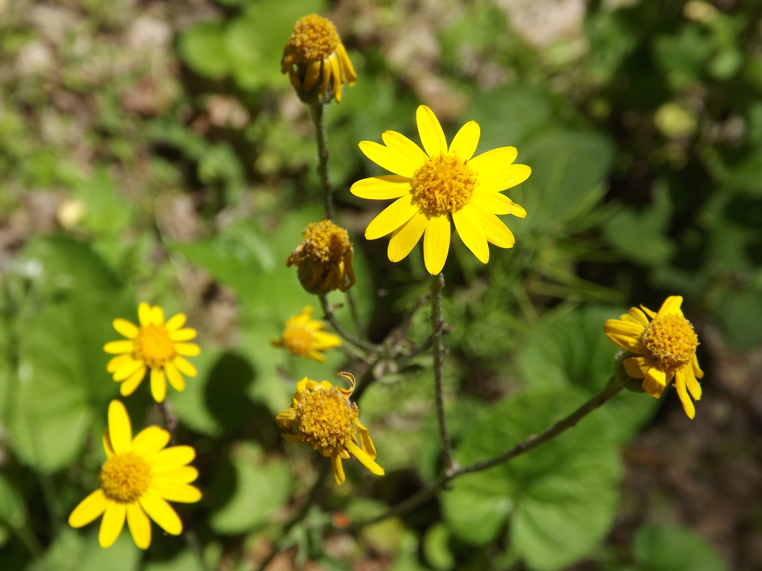 Golden Ragwort ( Packera aurea ) - Golden Ragwort is a pretty yellow wildflower I've only recently identified. Native to our area, I tend to find it along trails and old logging roads in near to full sun.