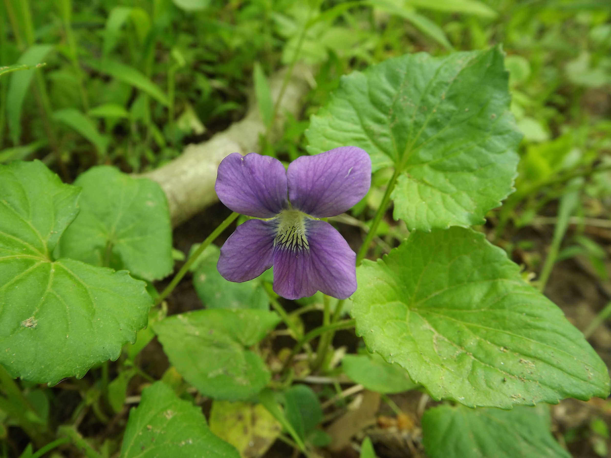 Common Blue Violet ( Viola sororia ) - There are still a few Common Blue Violets out in the woods, but I think we're nearing the end of their flowering season. Like all violets, the flowers and leaves are edible and were even used for some medicinal purposes by Native Americans.