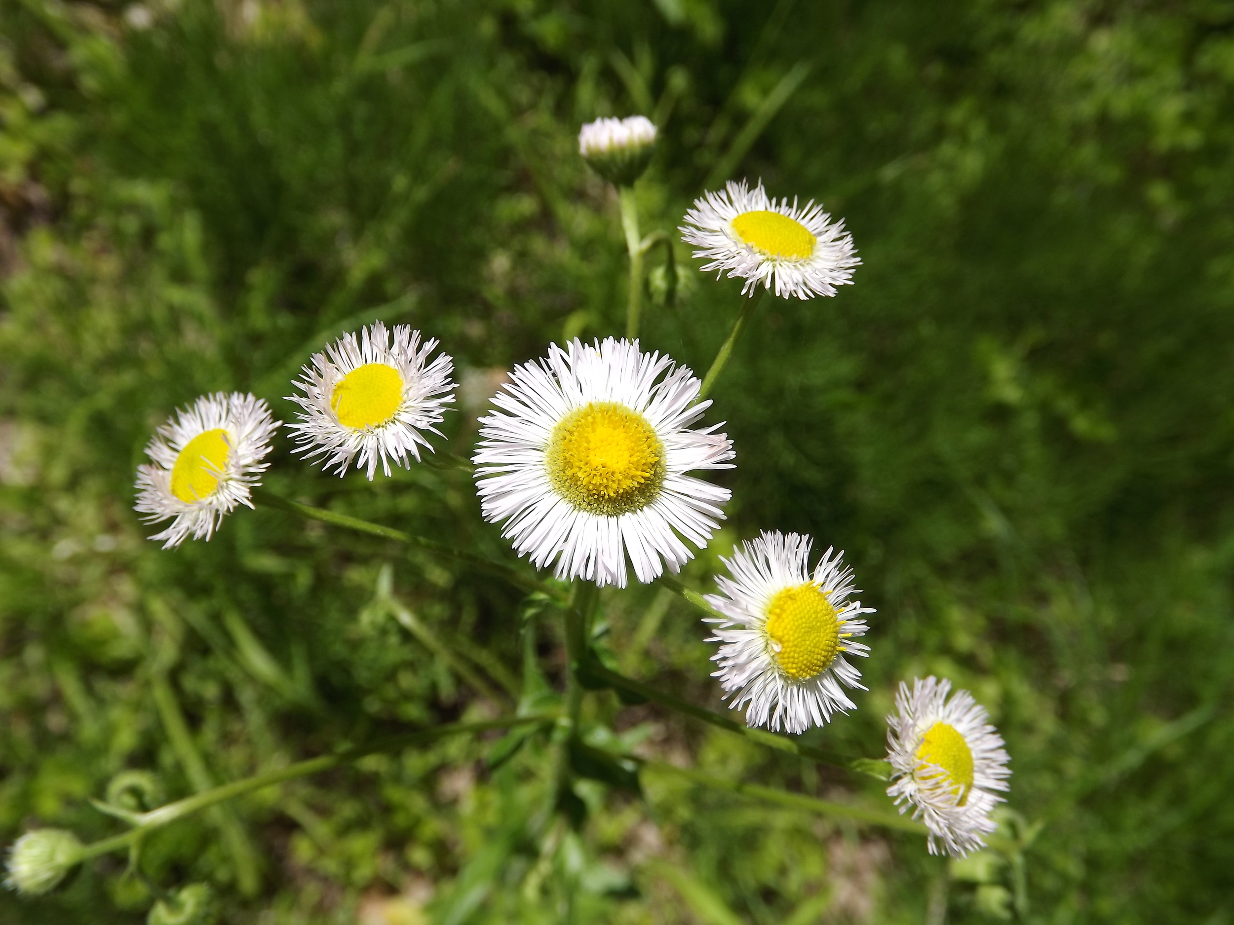Philadelphia Fleabane ( Erigeron philadelphicus ) - Also known as Common Fleabane, Philadelphia Fleabane is just starting to show up in our woods. The daisy-like flowers have very thin petals that can be white or purple or a combination of both and are very pretty.