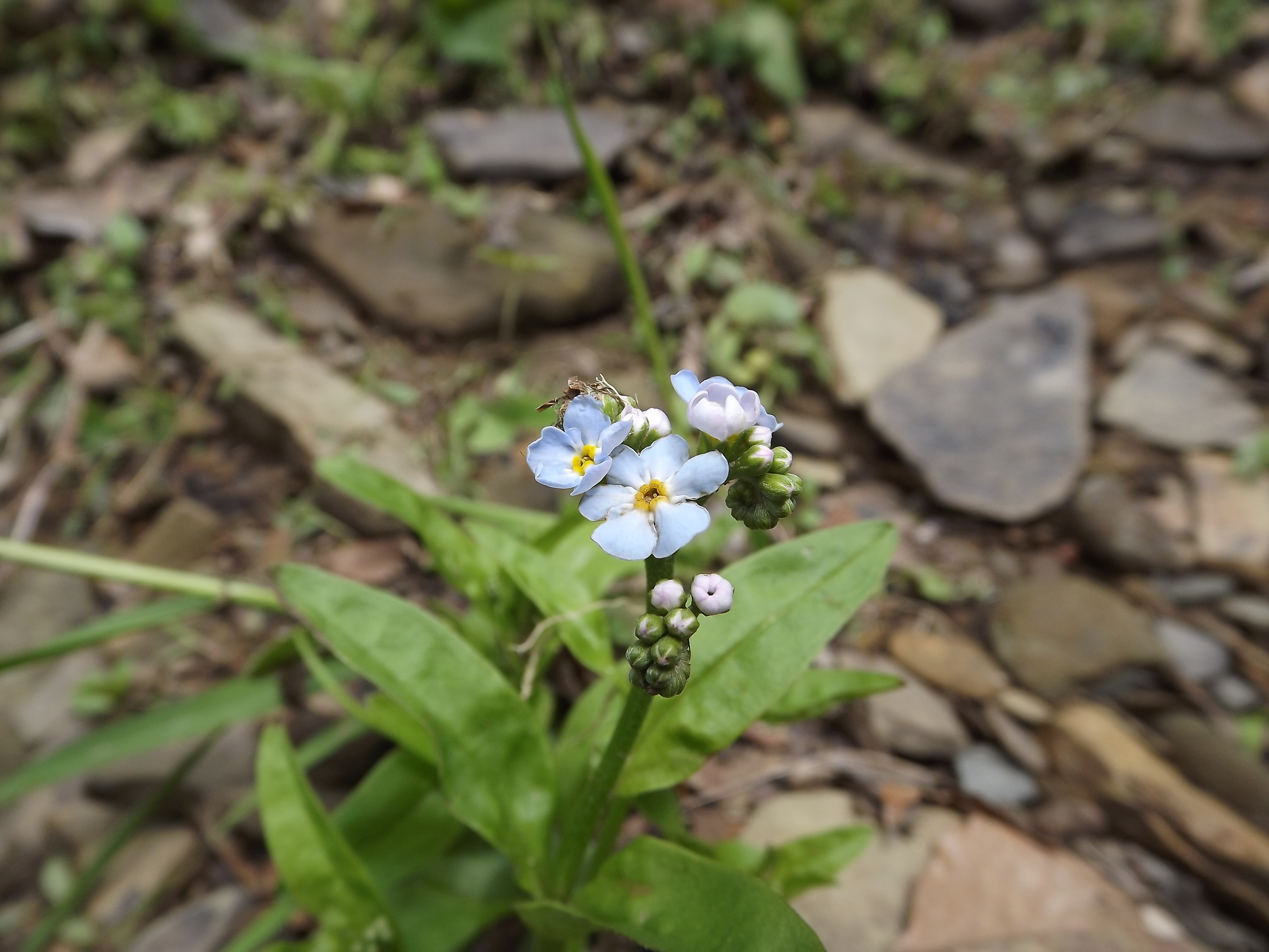 Small Flower Forget-Me-Nots ( Myosotis laxa )
