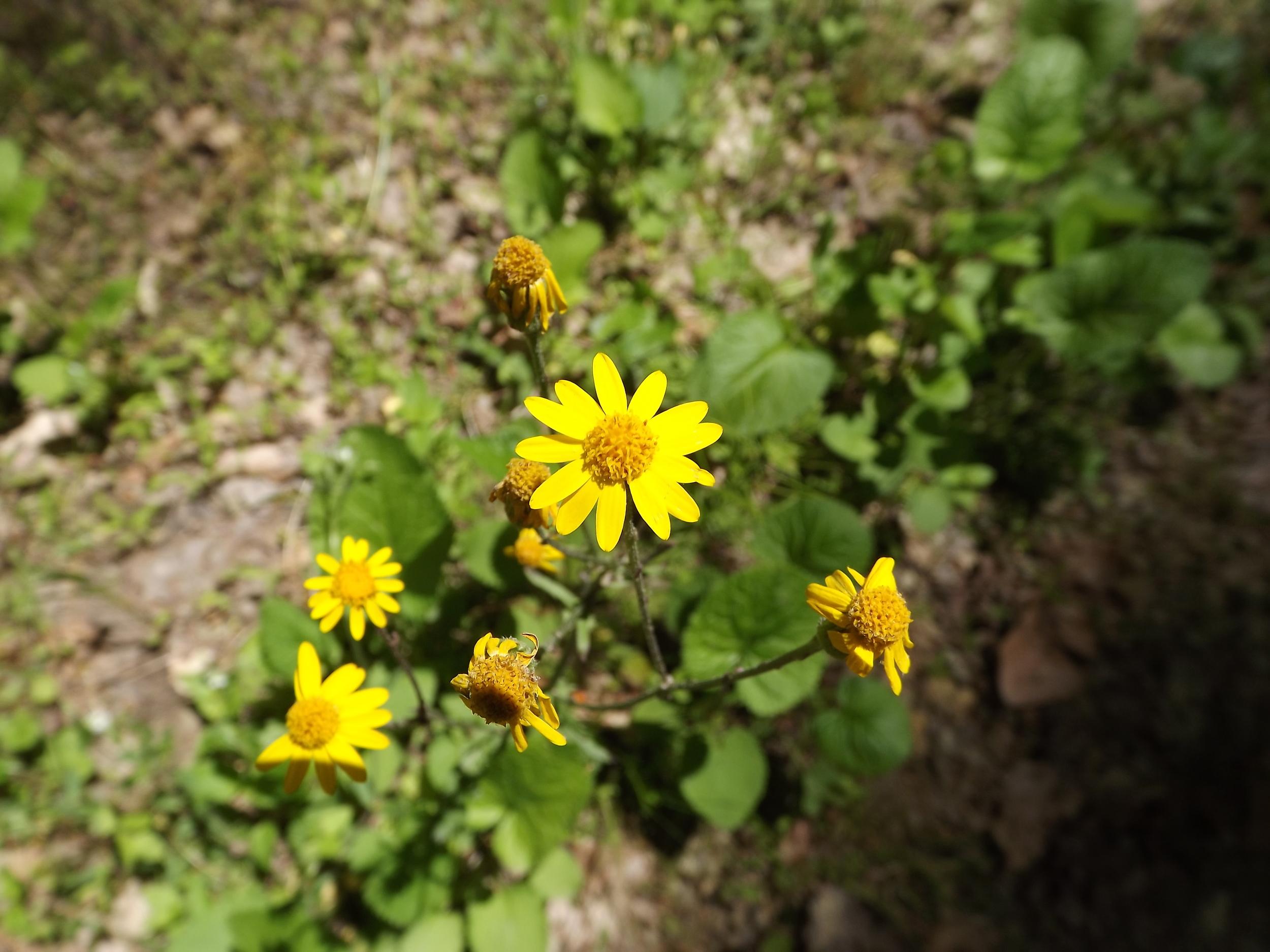 Golden Ragwort ( Packera aurea )