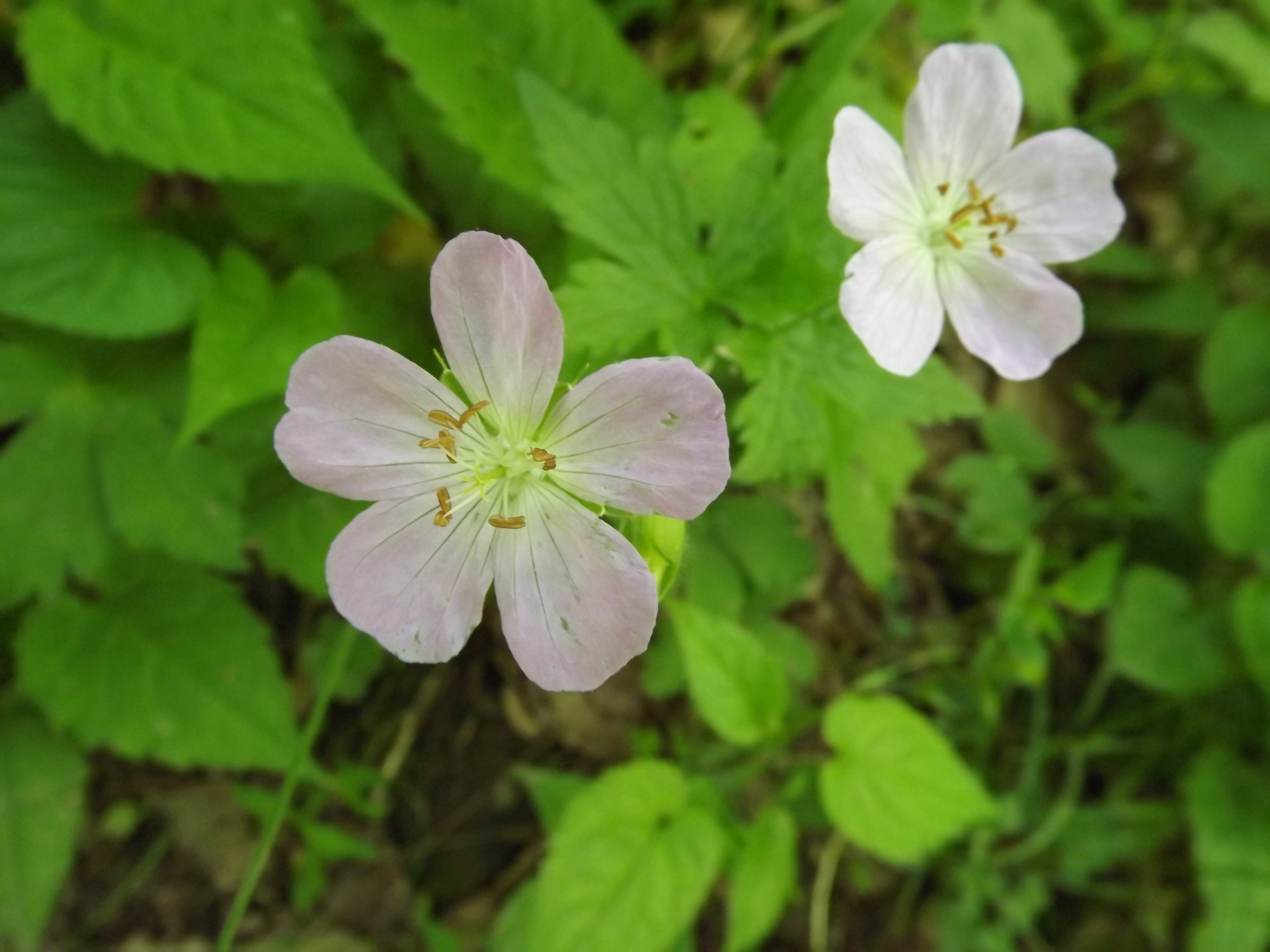 Wild Geranium ( Geranium maculatum ) -  I'm starting to see less and less Wild Geranium in the woods as their season winds down.  But they are one of my favorite wildflowers and one of the very first I identified when I bought my camera to learn about the flora and fauna in the woods.