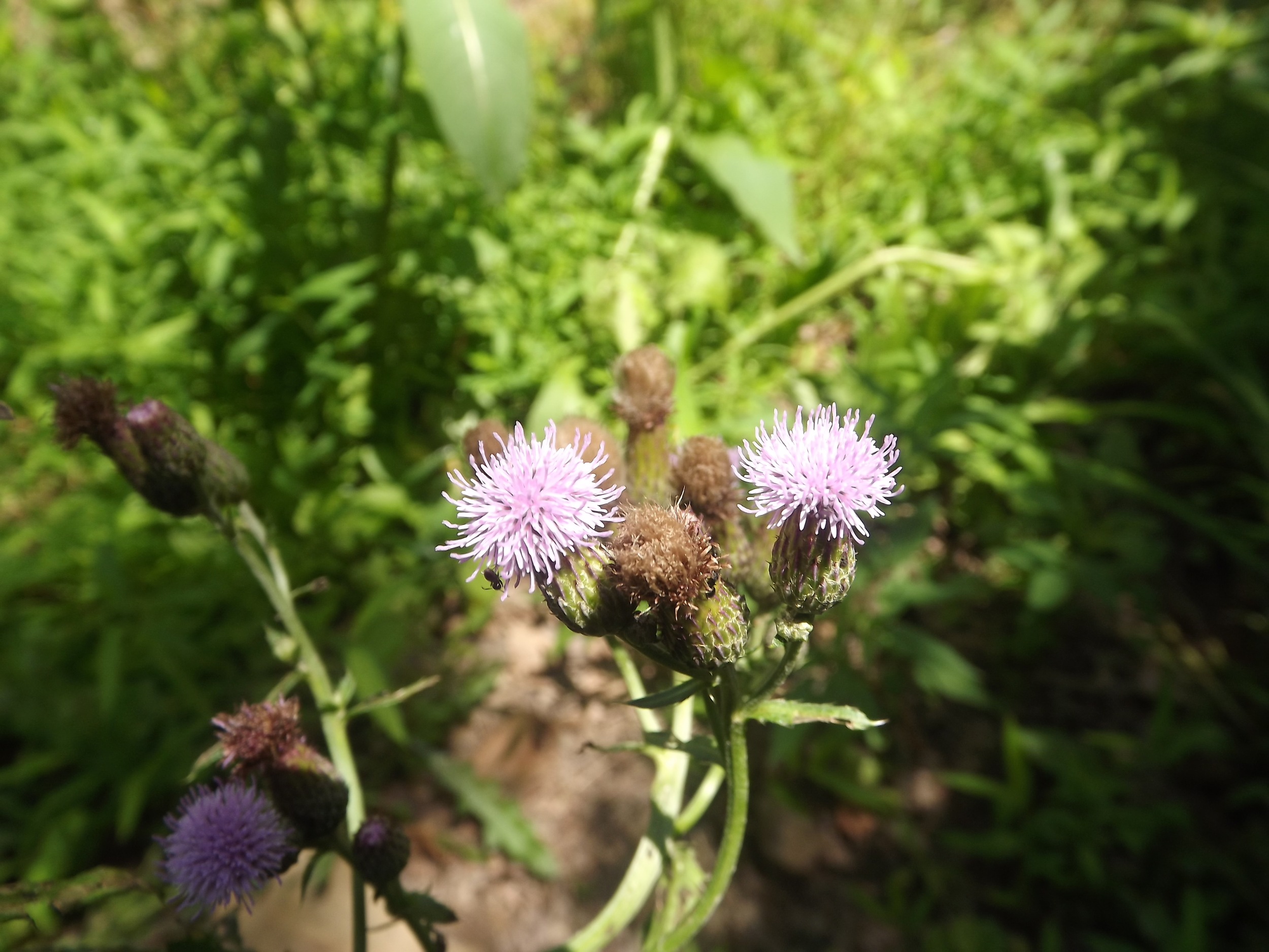 Canada Thistle ( Cirsium arvense ) Non-Native - Also known as Creeping Thistle, Canada Thistle produces a pinkish purple blossom on top of long skinny branches. Canada Thistles is not native to our area and is considered invasive in many states.