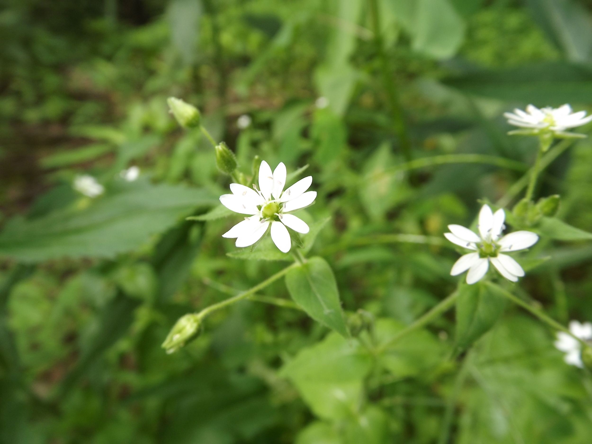 Star Chickweed ( Stellaria pubera ) - I found this specimen of Star Chickweed among a large concentration of Small Flower Forget-Me-Nots. Star Chickweed must prefer similar, watery habitats to Forget-Me-Nots since both were within a foot or so of the stream.