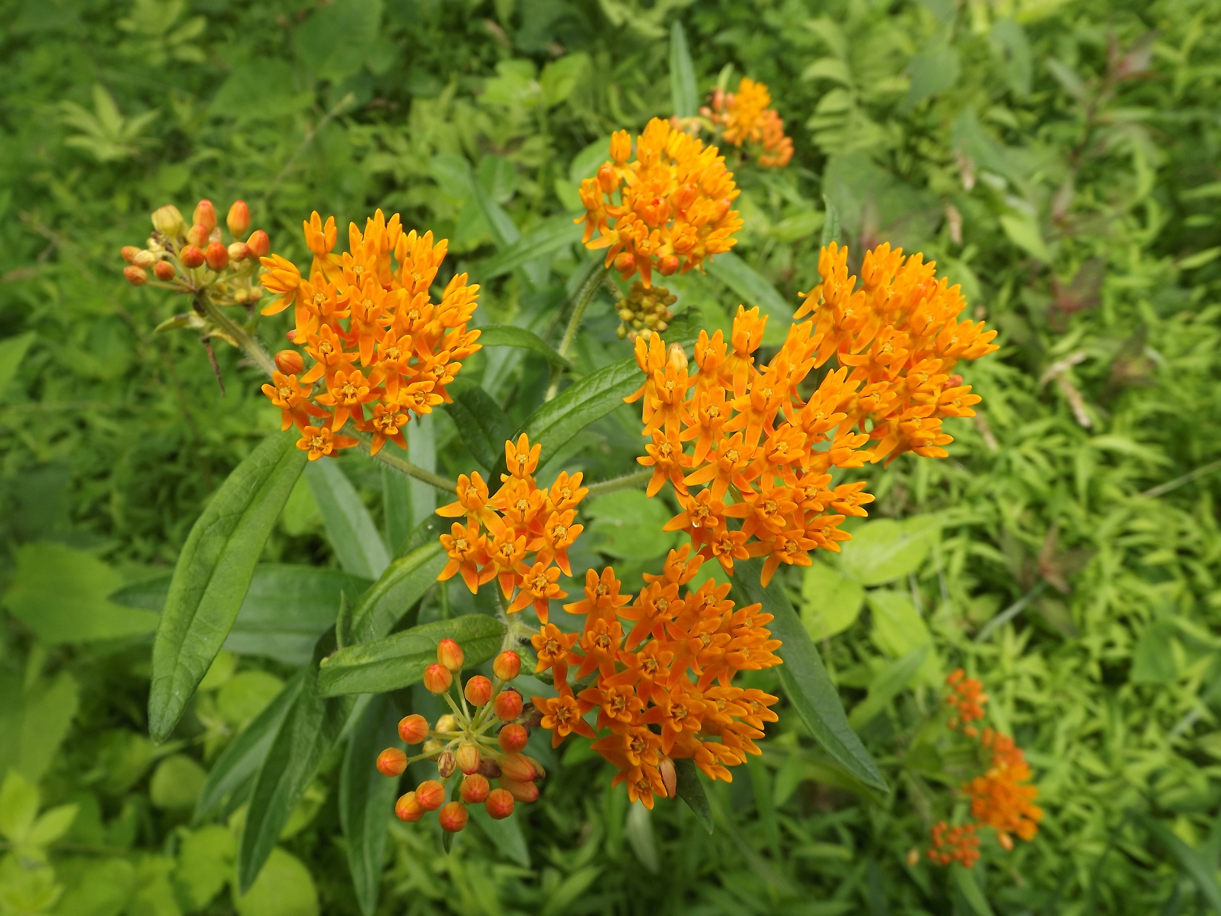 Butterfly Weed ( Asclepias tuberosa ) - The orange flowers of Butterfly Weed are so brilliant they almost glow with an orange hue when set against the green backdrop of the forest.  The flowers stand out so much that several times I've spotted them across a field from a considerable distance.  Like Milkweed, Butterfly Weed is a favorite of butterflies, bees, and other insects.
