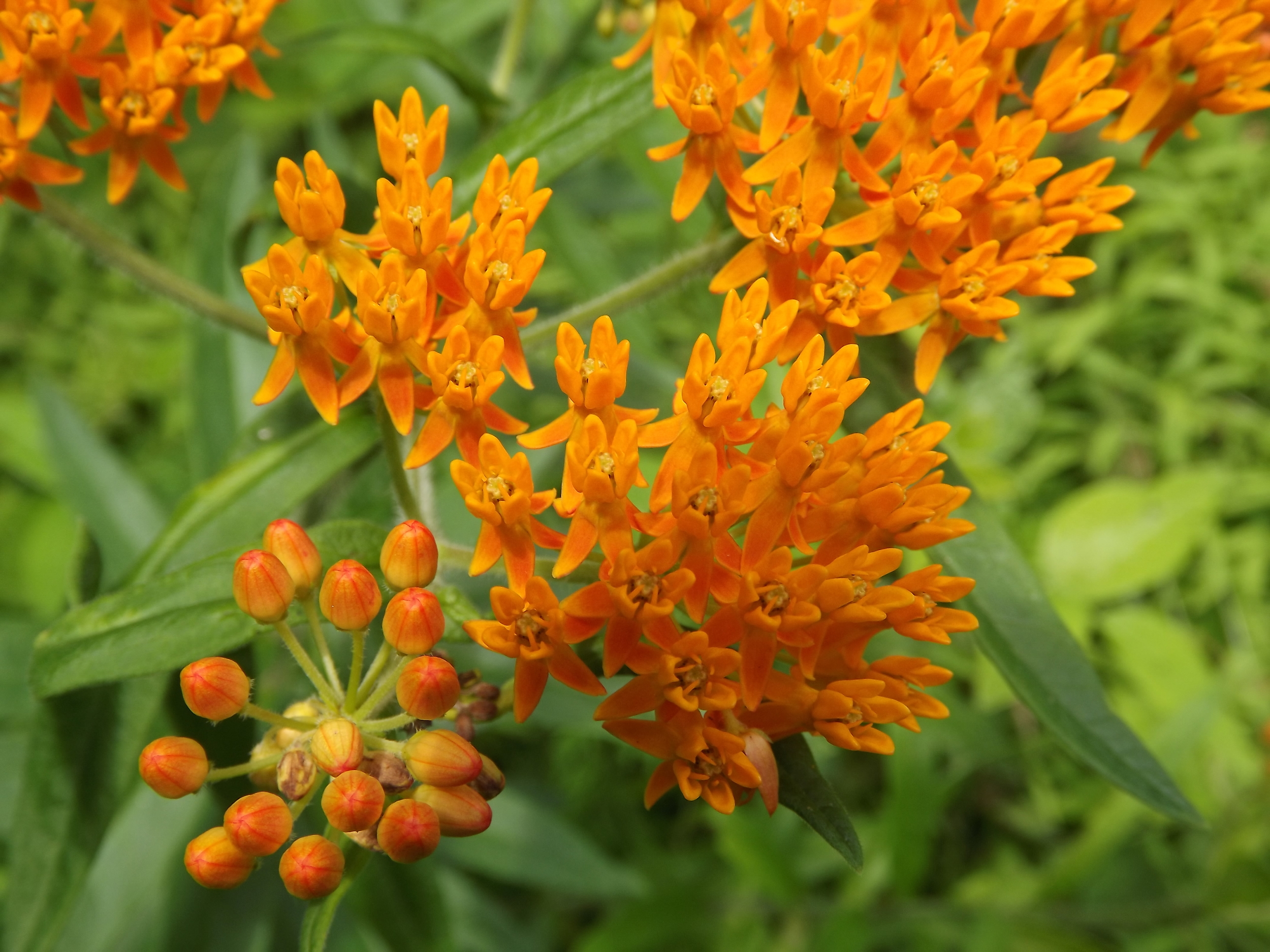 Butterfly Weed ( Asclepias tuberosa )